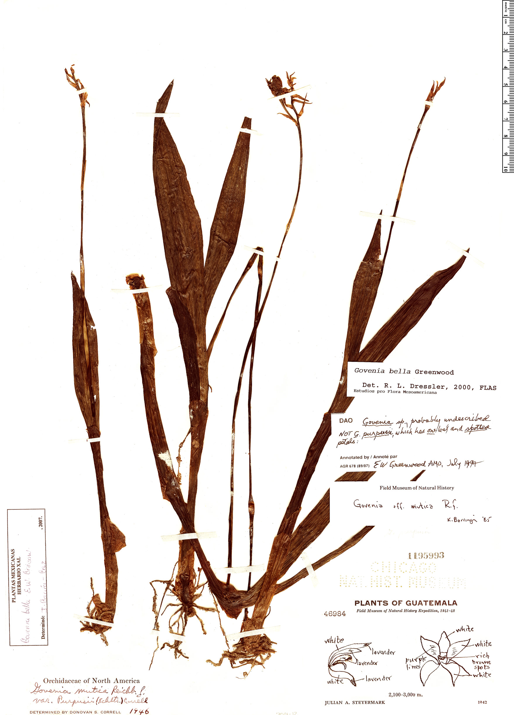Specimen: Govenia bella