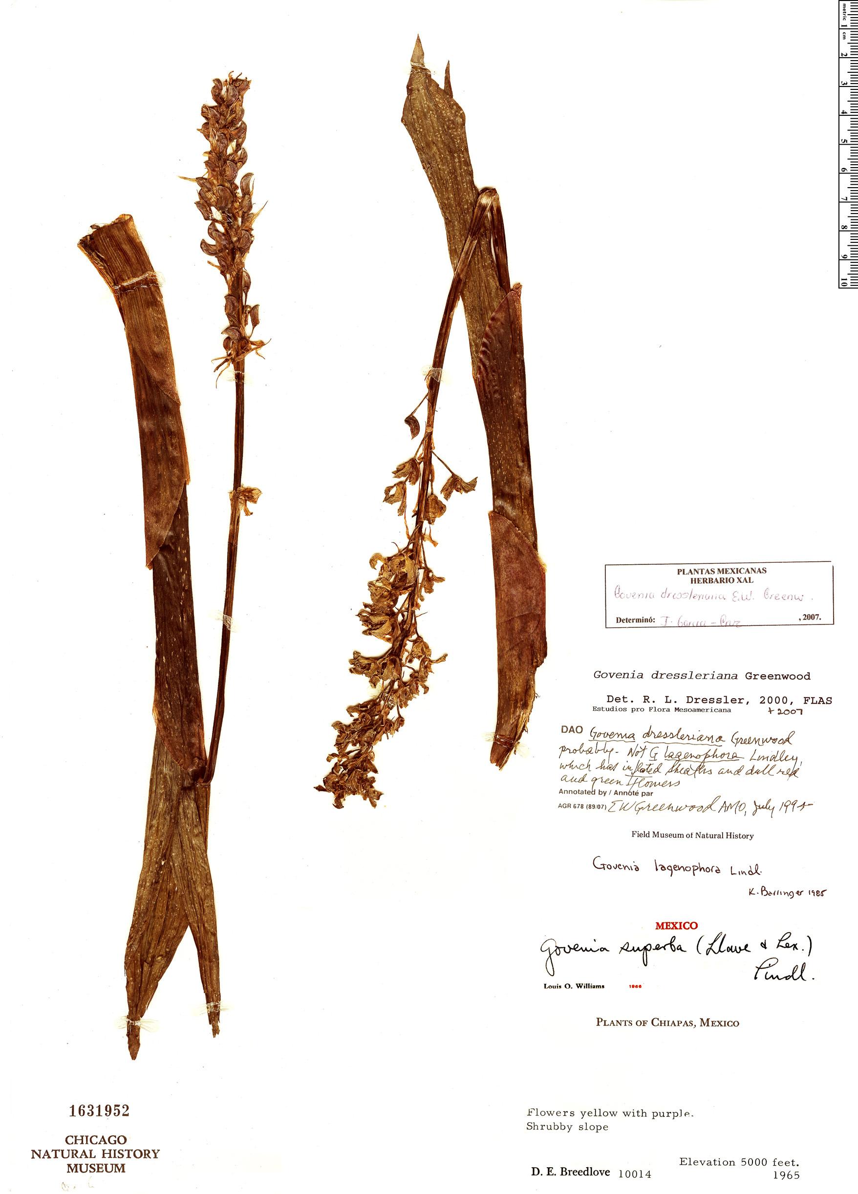 Specimen: Govenia dressleriana