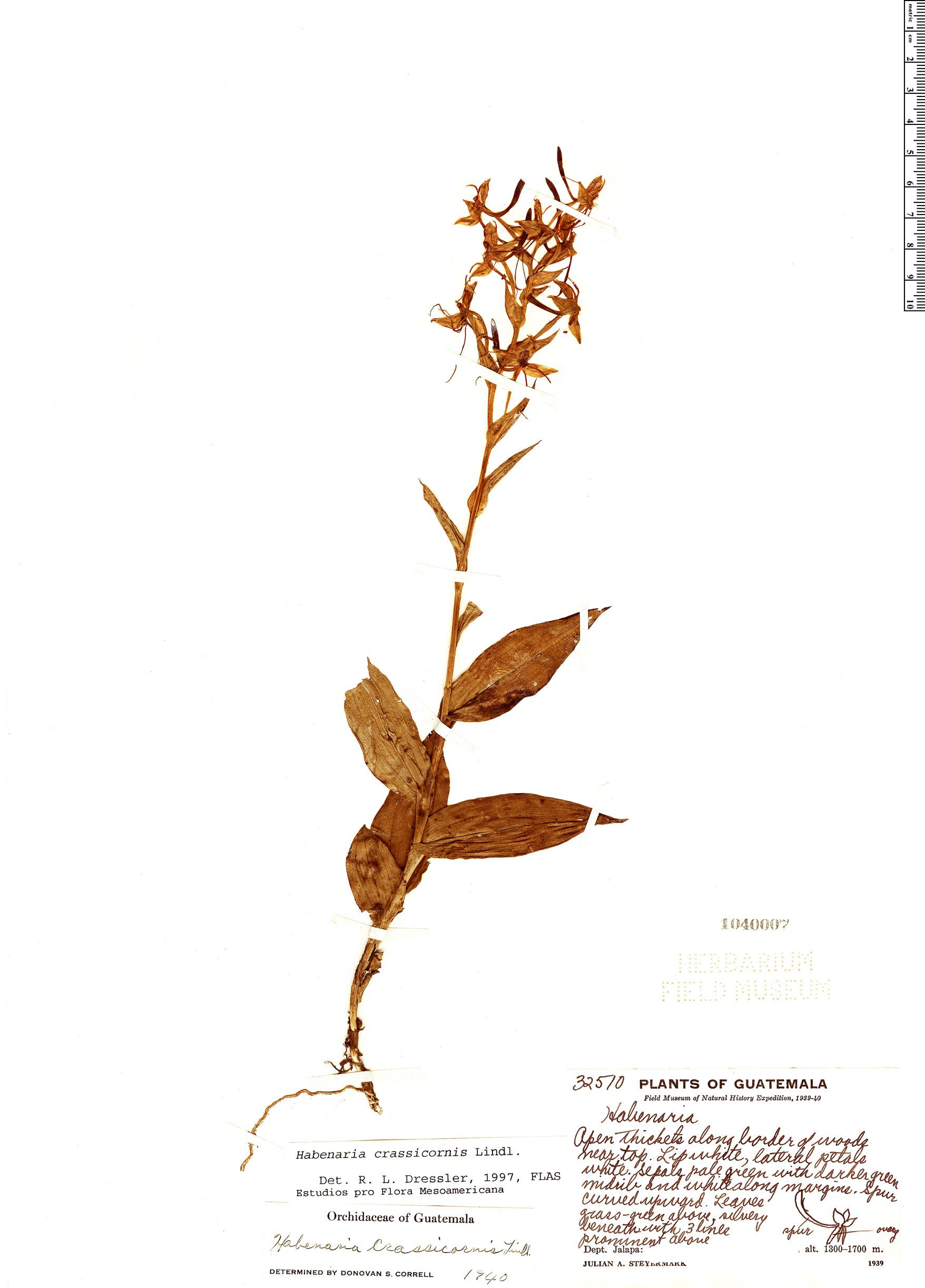 Specimen: Habenaria crassicornis