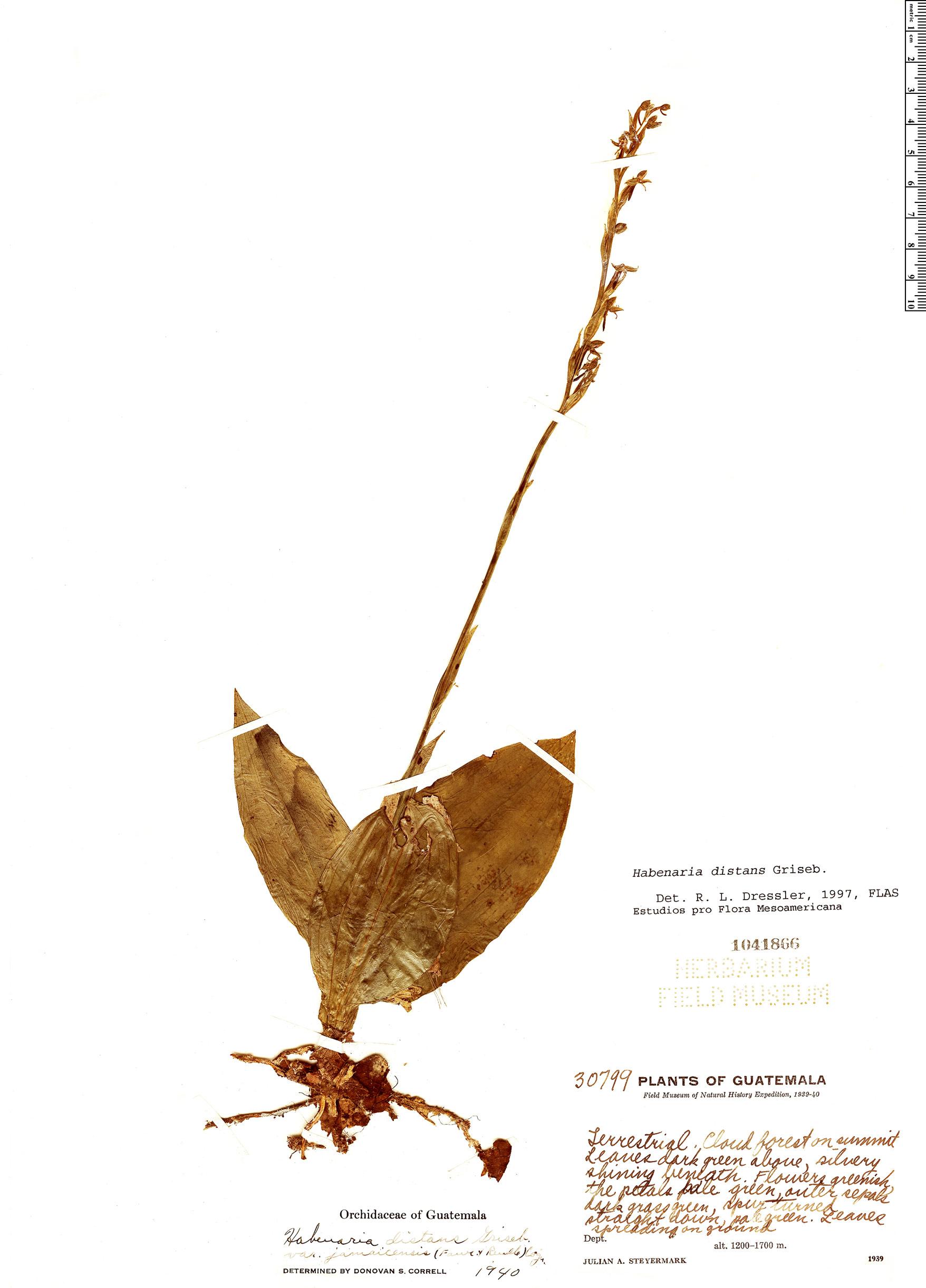 Espécimen: Habenaria distans