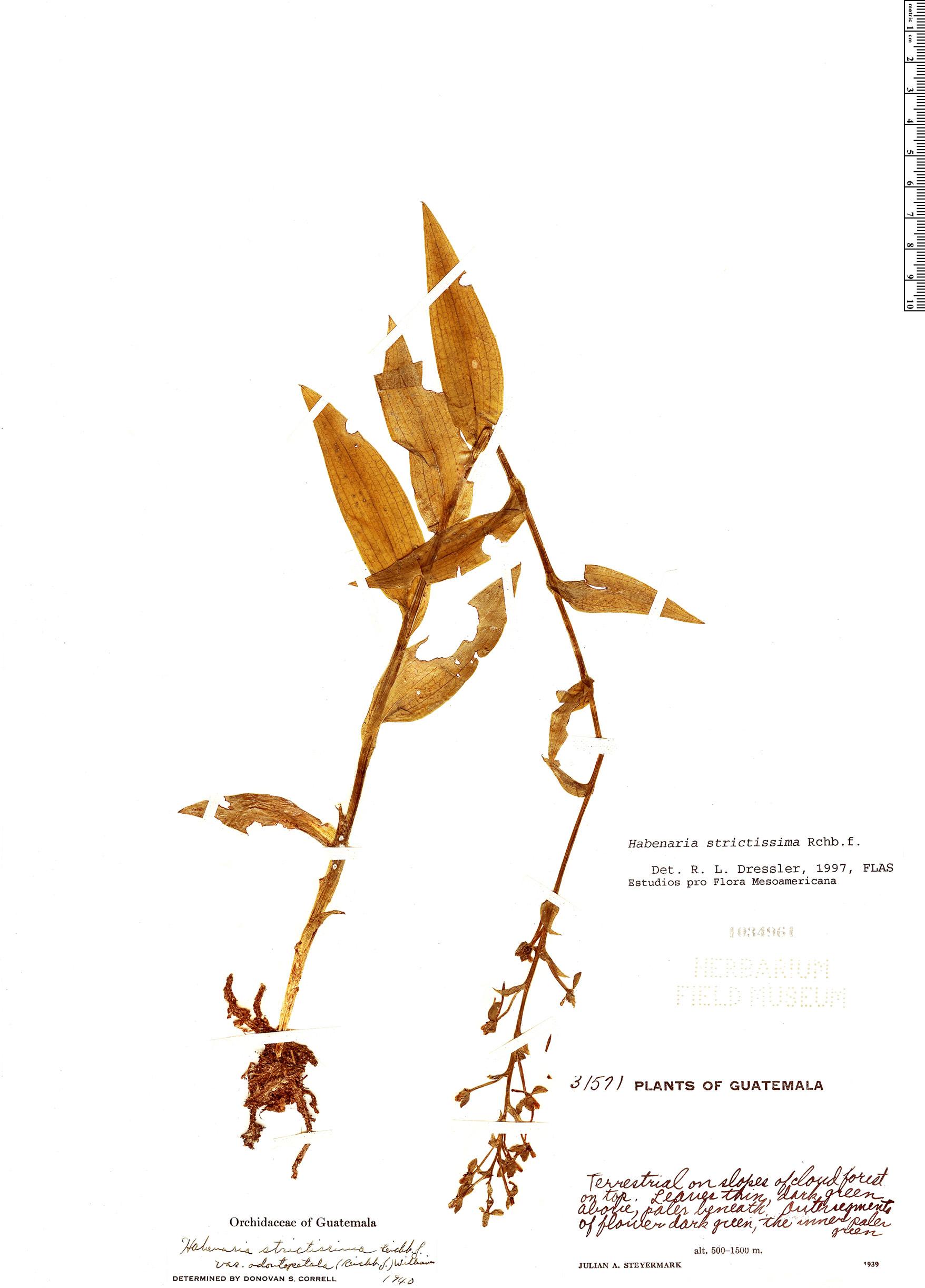 Specimen: Habenaria strictissima