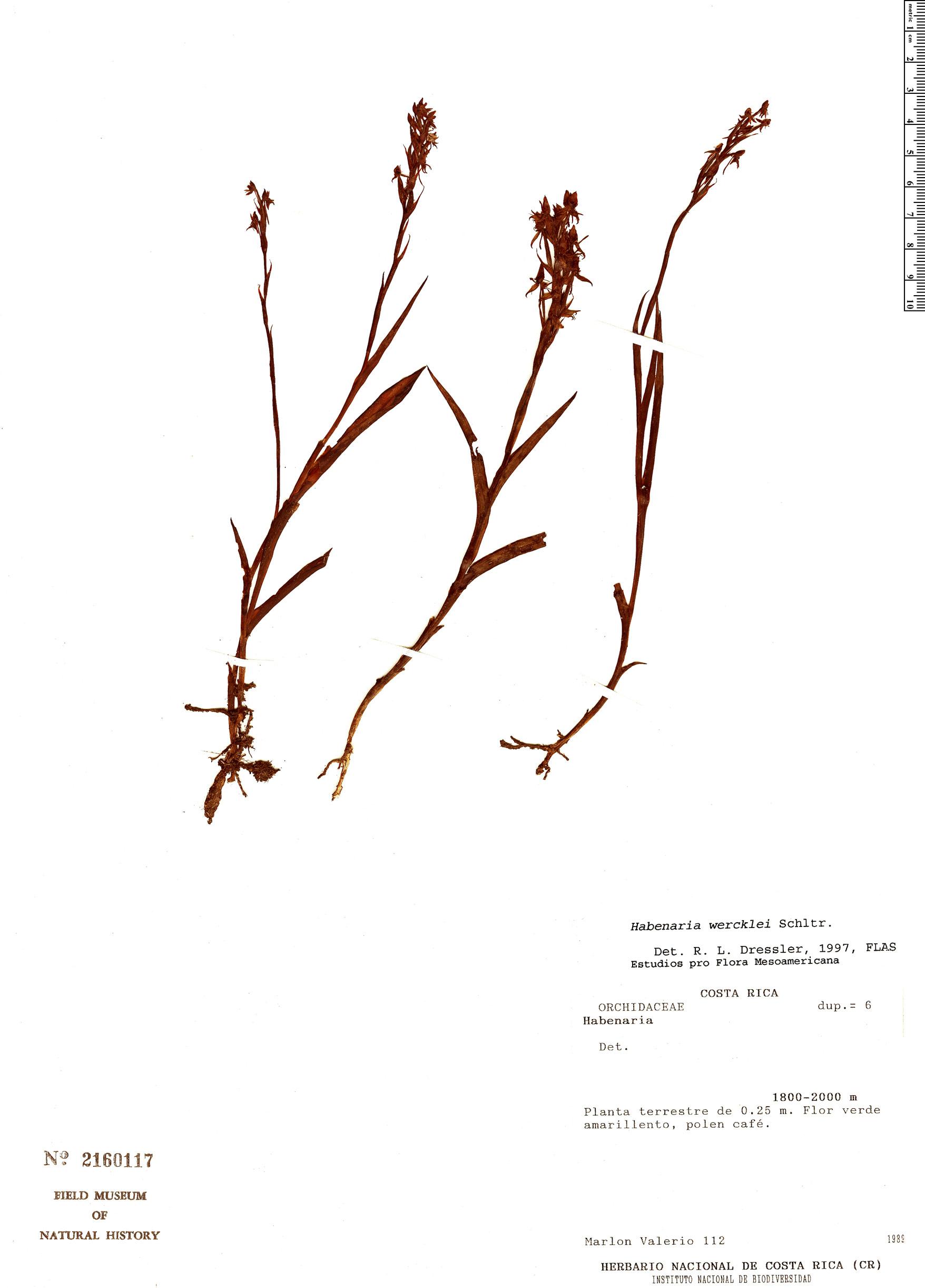 Specimen: Habenaria wercklei