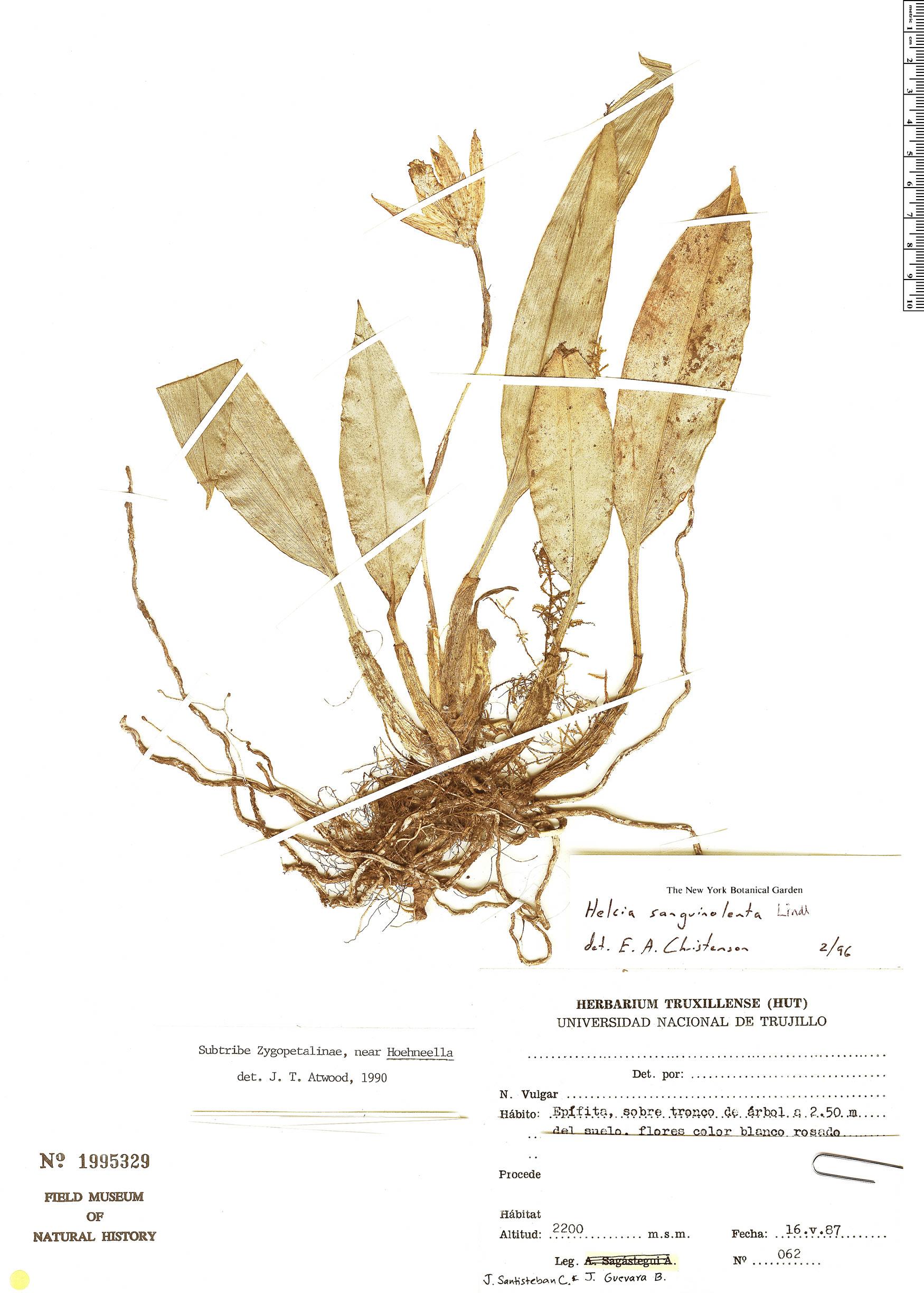 Specimen: Helcia sanguinolenta