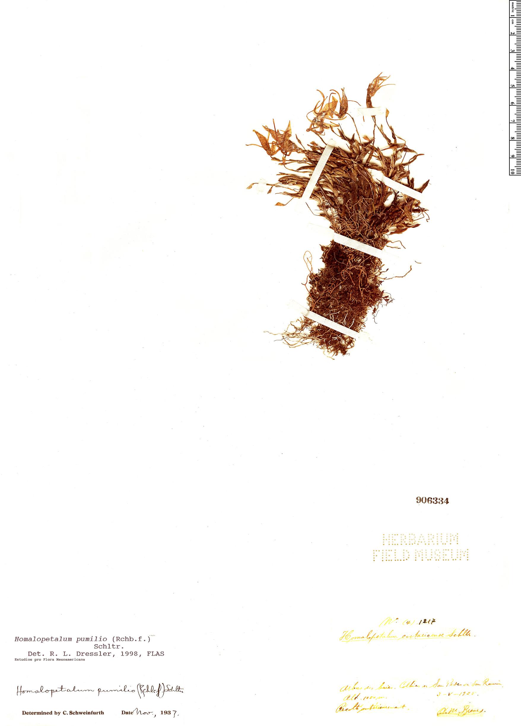 Specimen: Homalopetalum pumilio