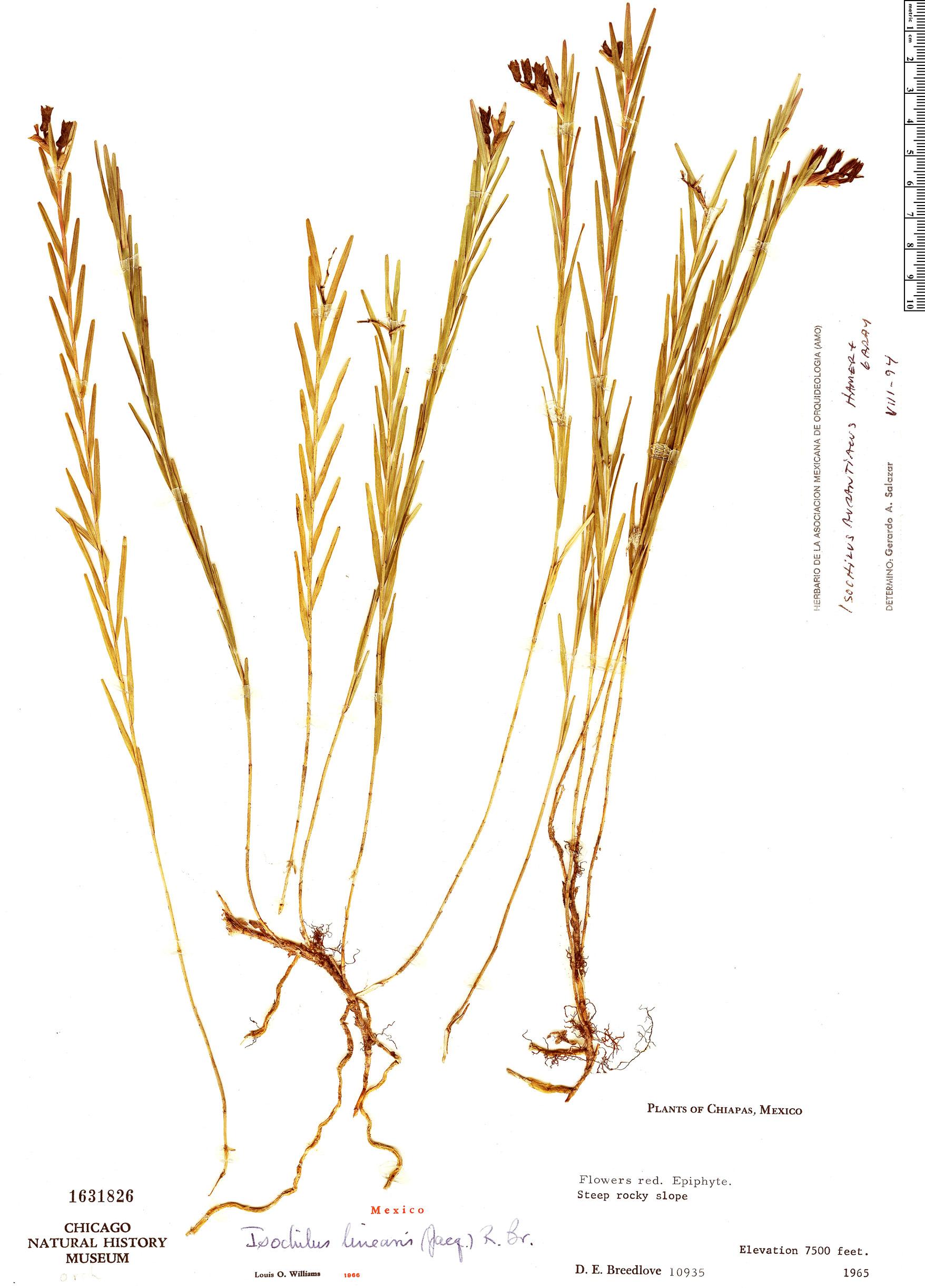 Specimen: Isochilus aurantiacus