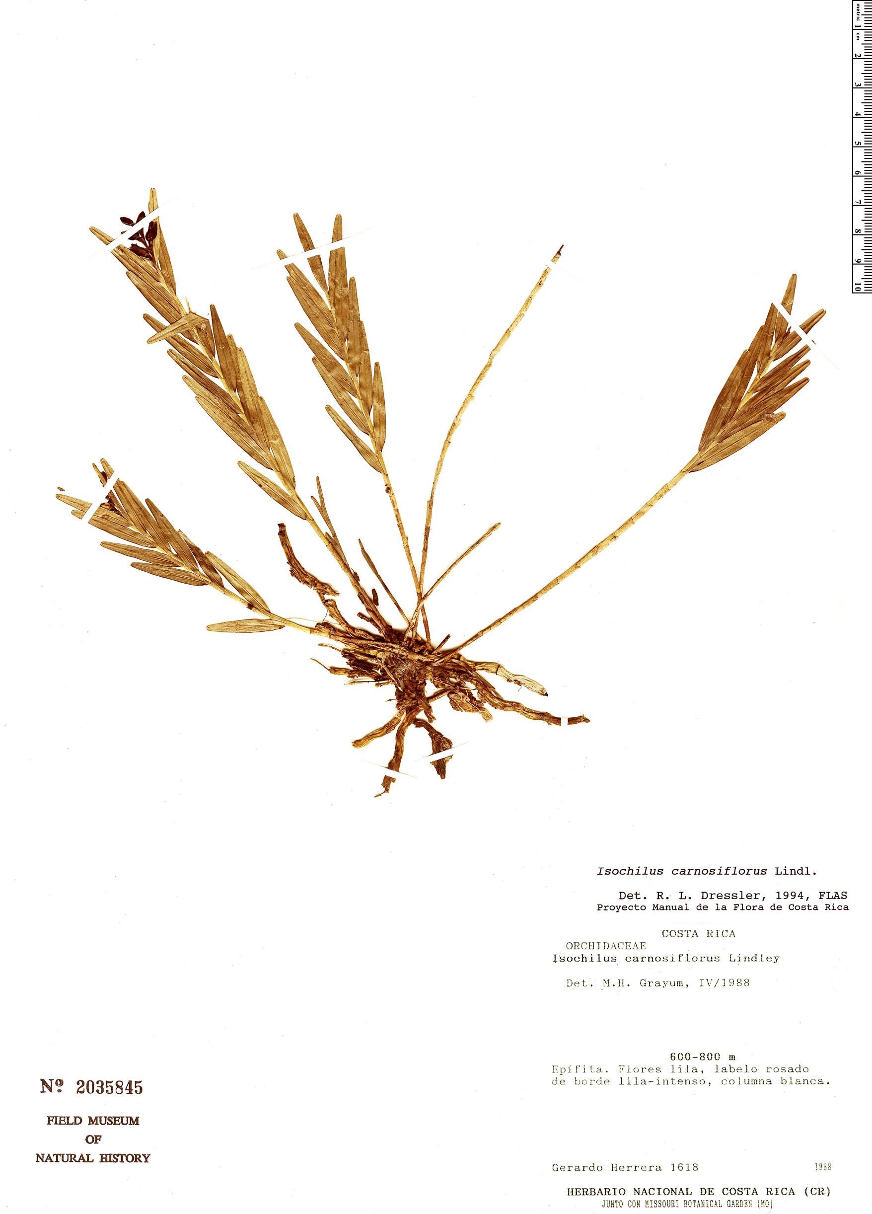 Specimen: Isochilus carnosiflorus