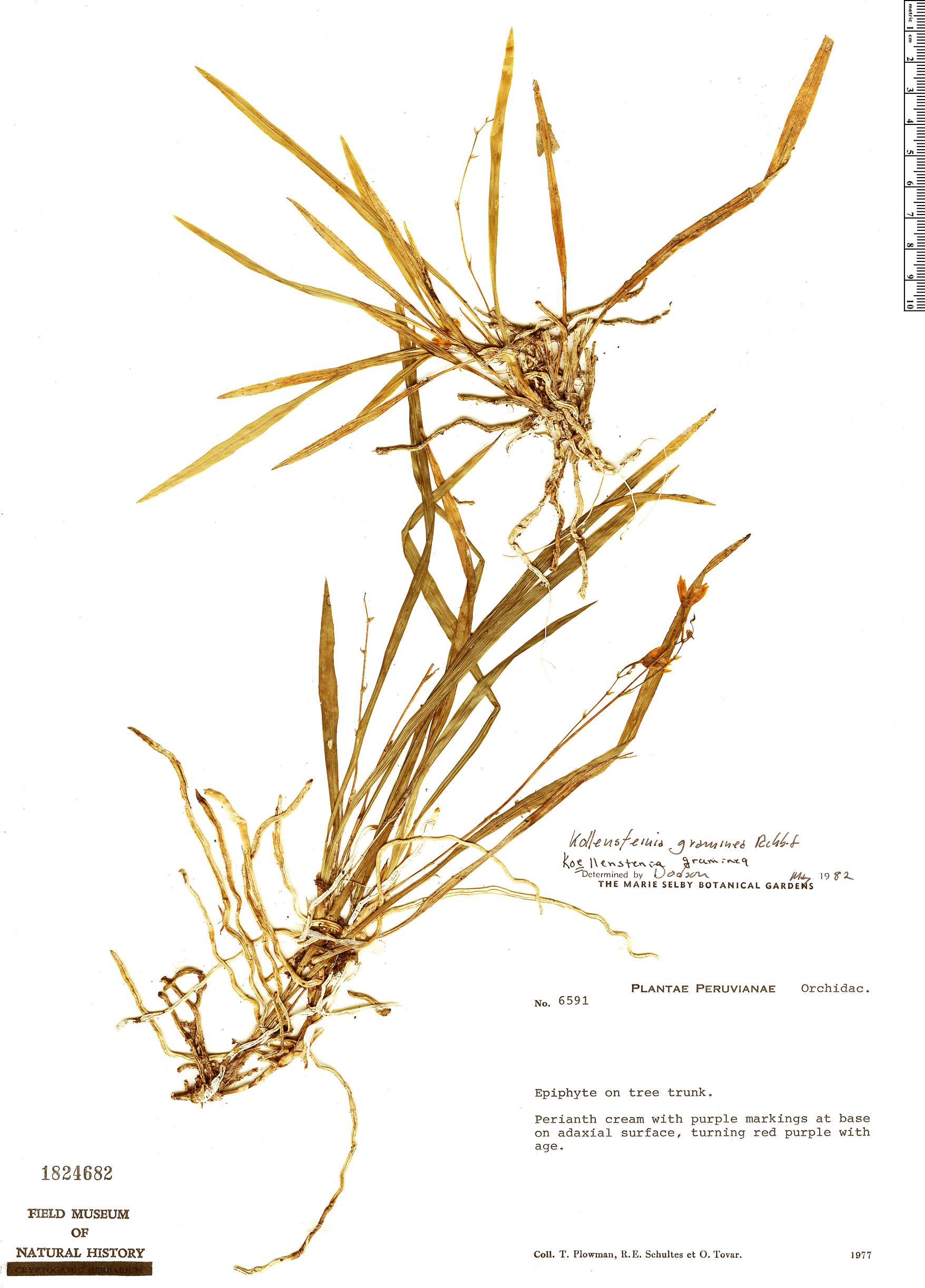 Specimen: Koellensteinia graminea