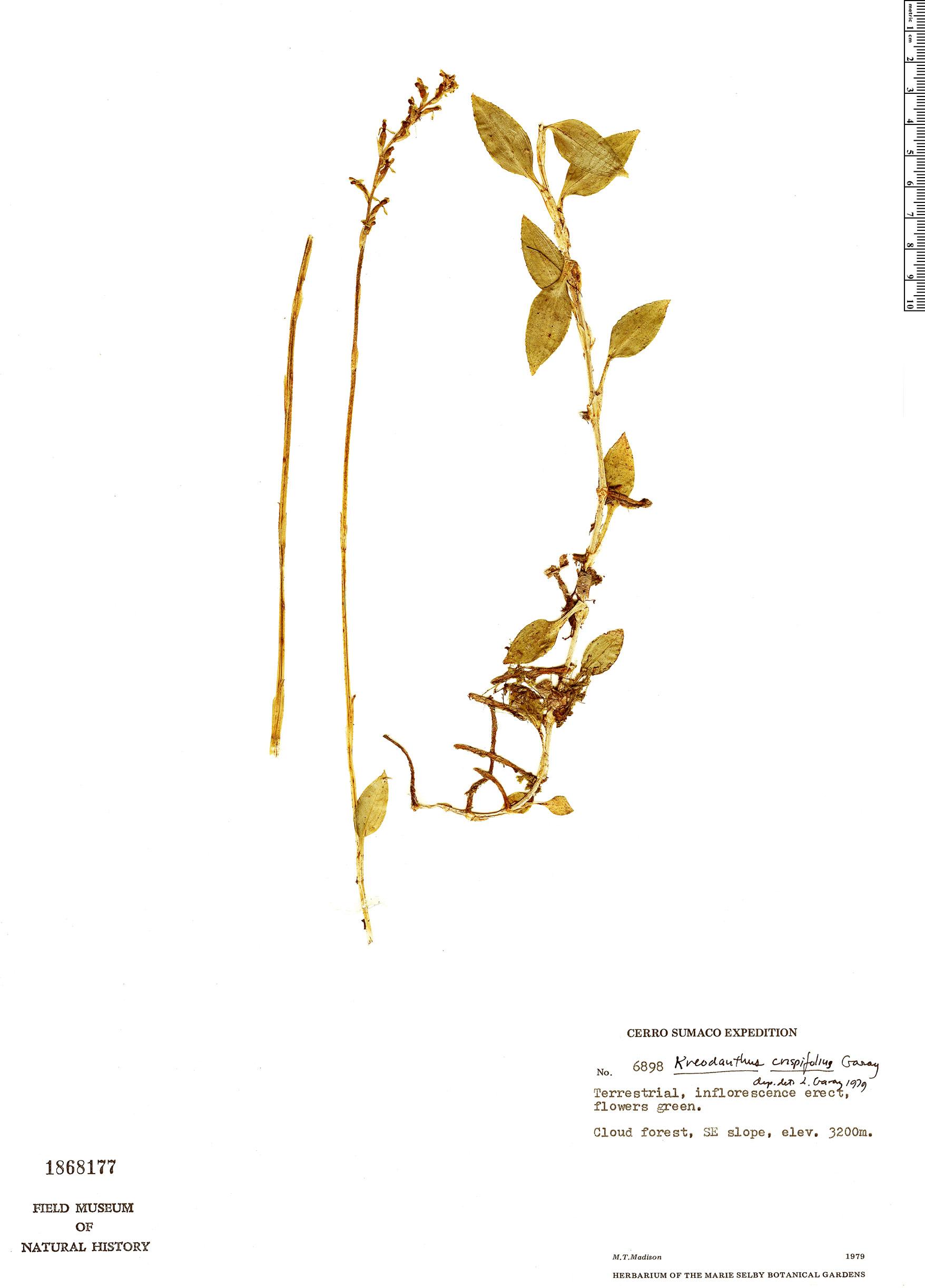 Specimen: Kreodanthus crispifolius