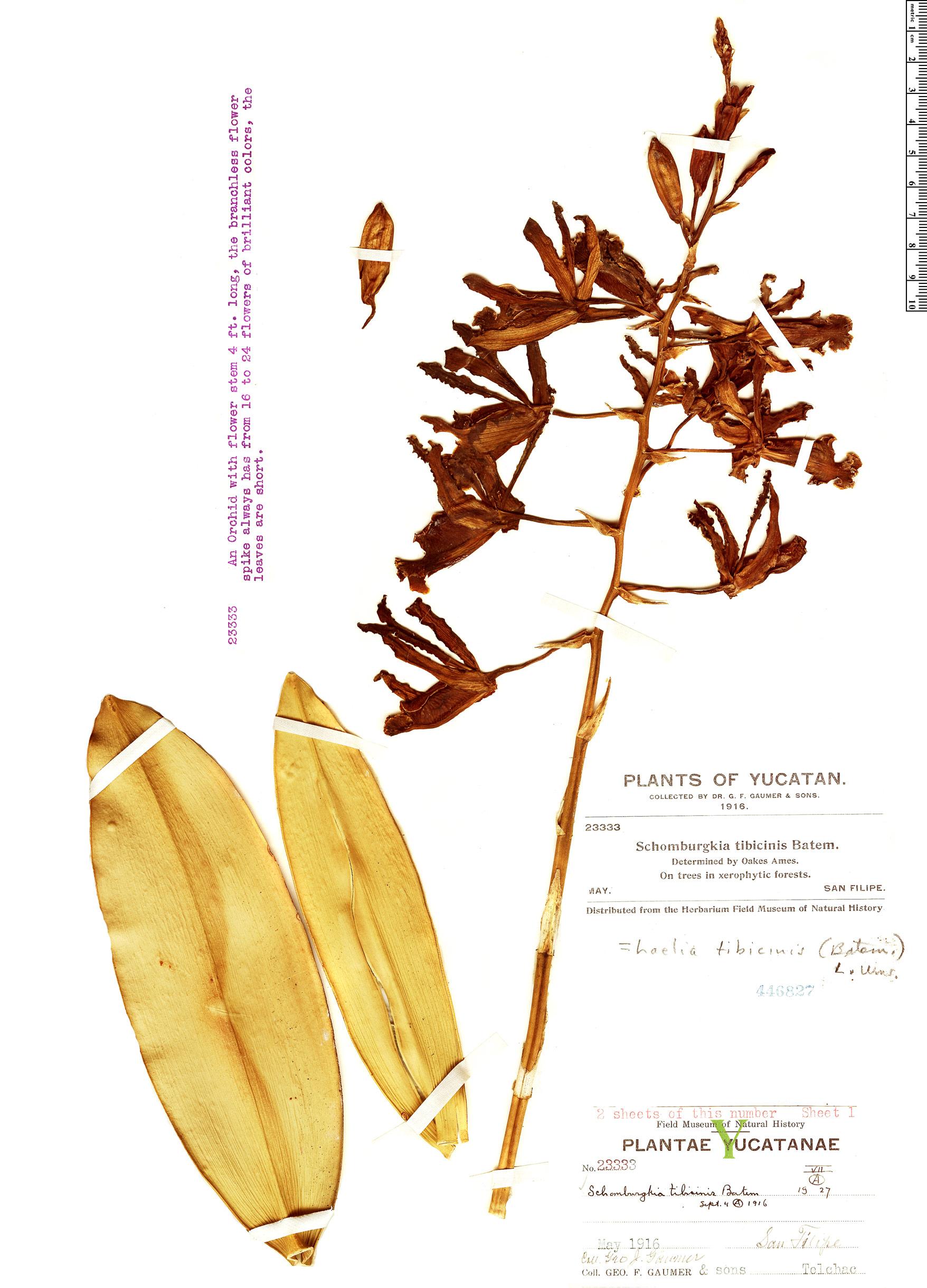 Specimen: Myrmecophila tibicinis