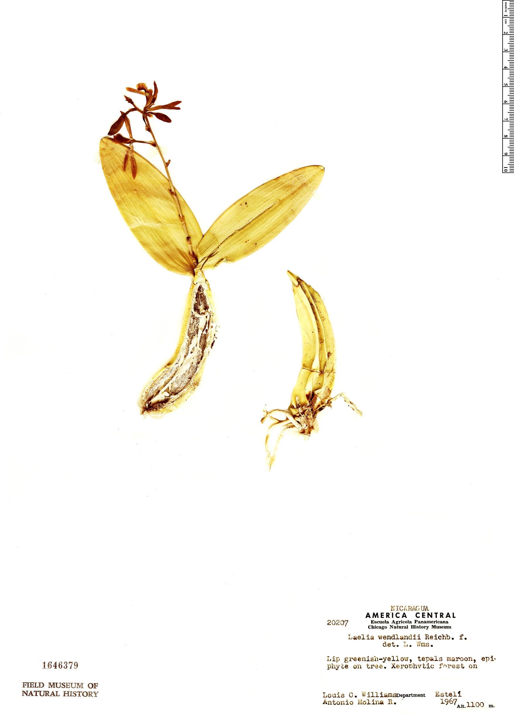 Specimen: Myrmecophila wendlandii