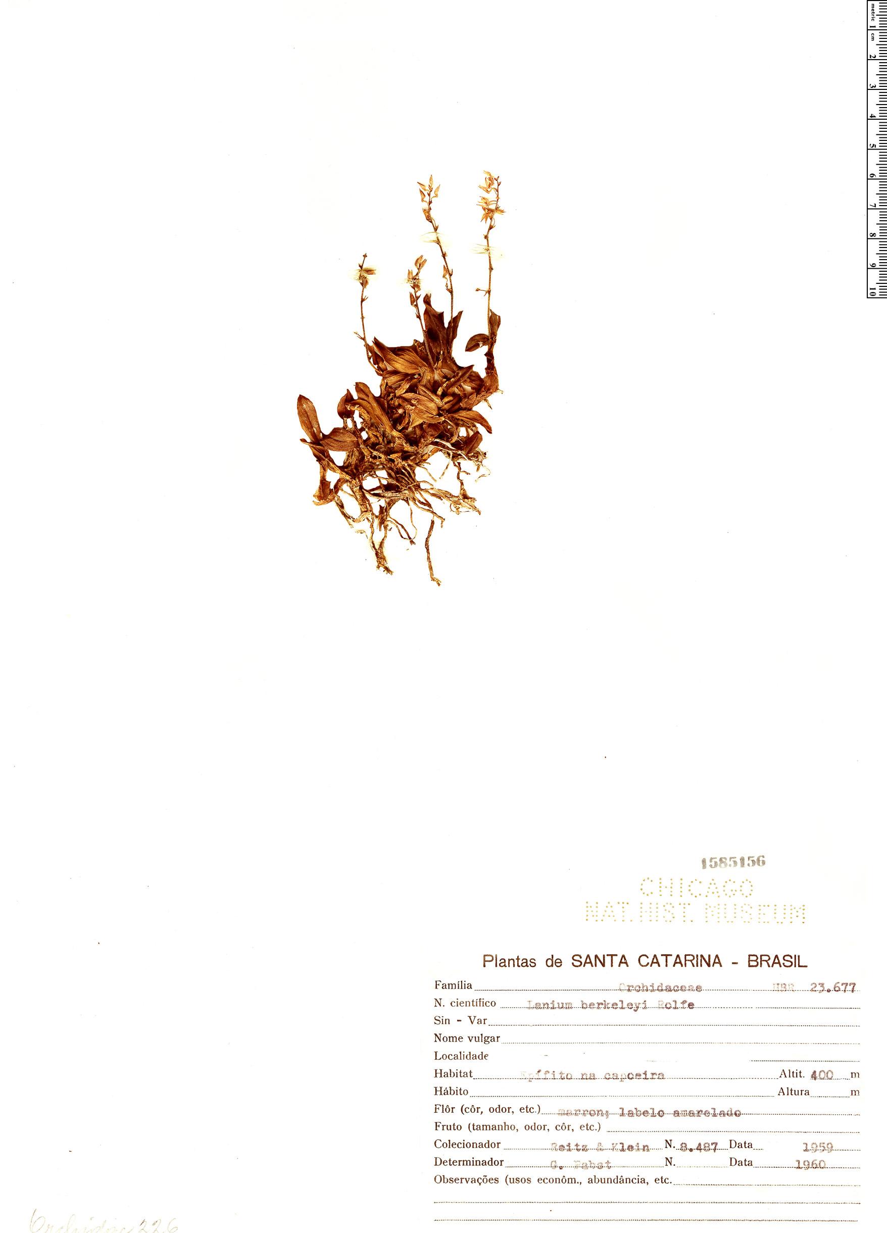 Specimen: Epidendrum berkeleyi