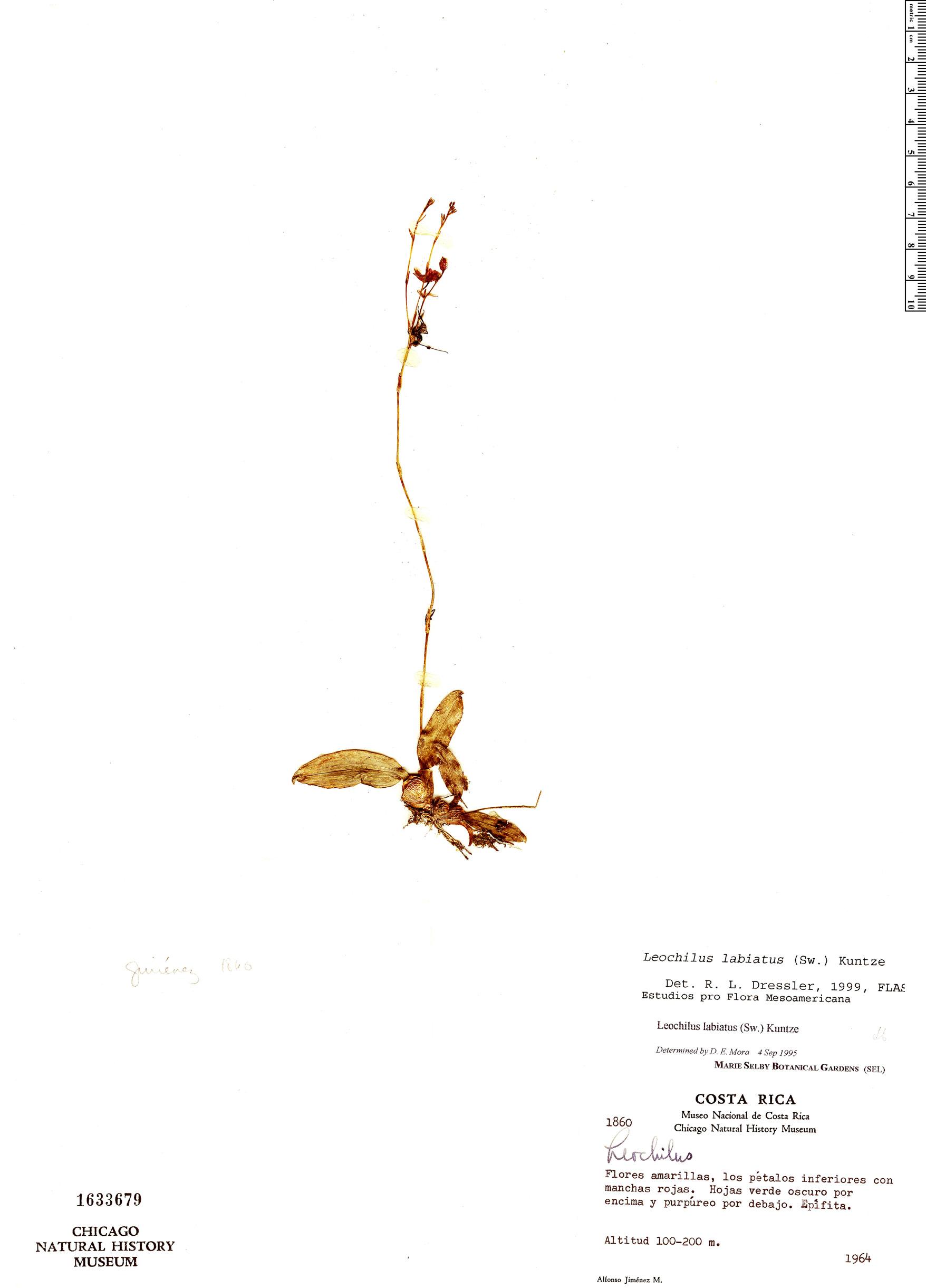 Specimen: Leochilus labiatus