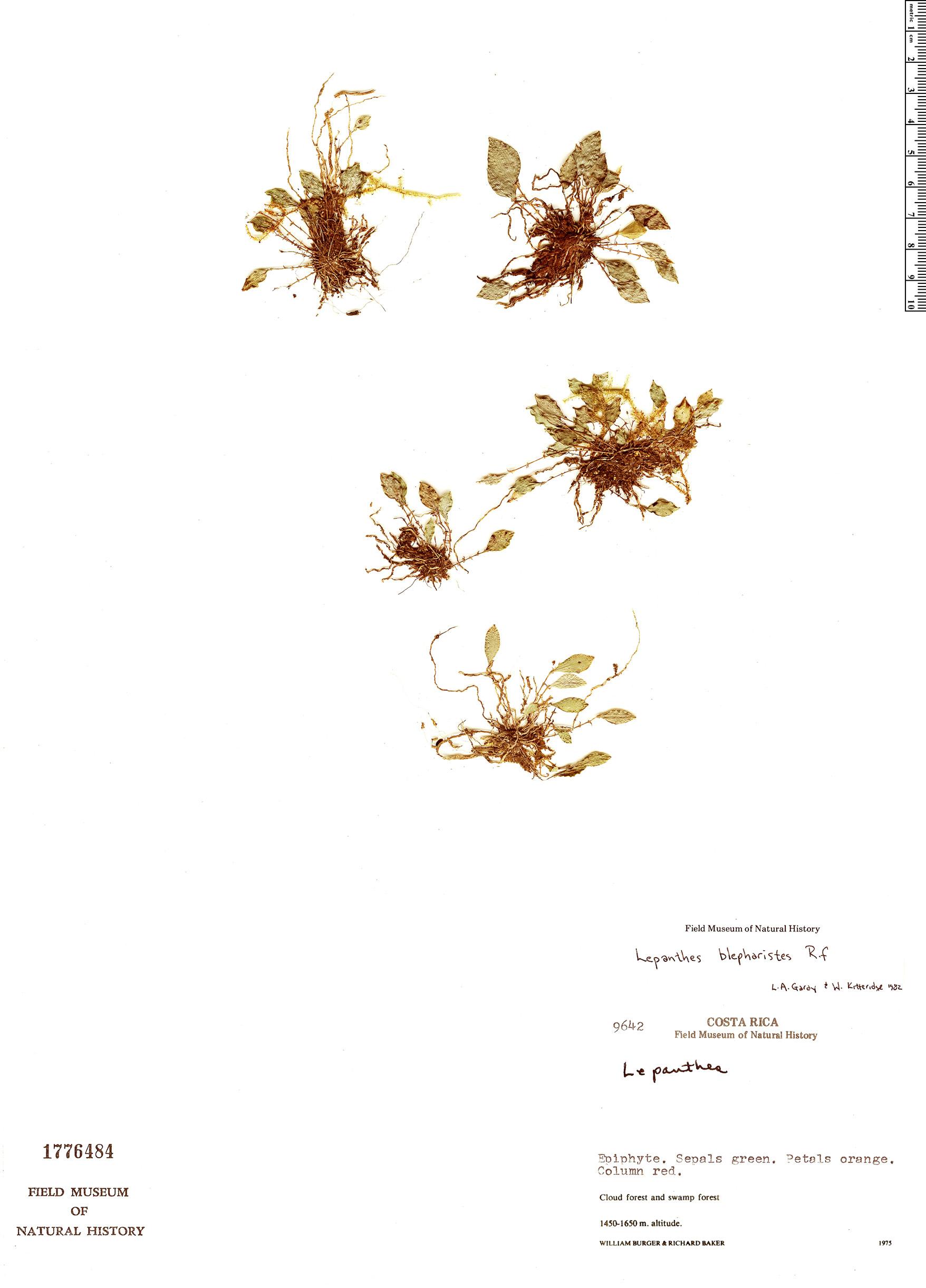 Specimen: Lepanthes blepharistes