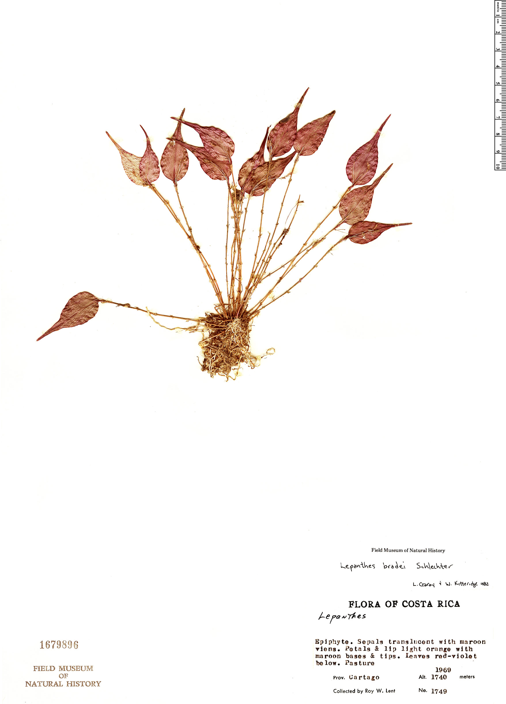 Specimen: Lepanthes bradei