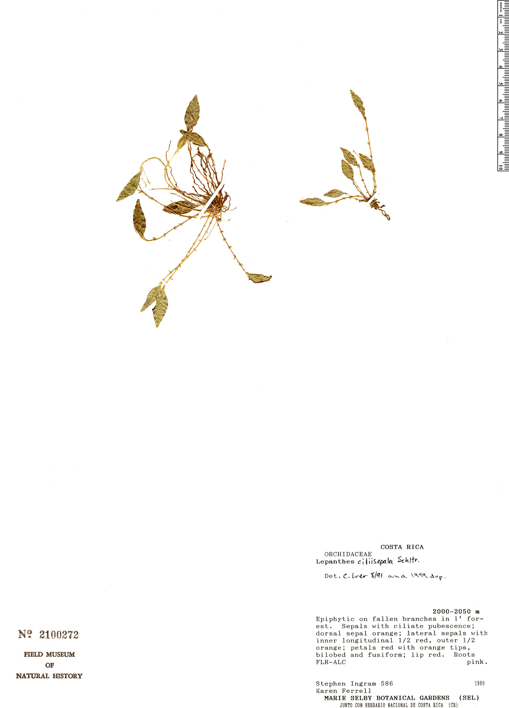Espécime: Lepanthes ciliisepala
