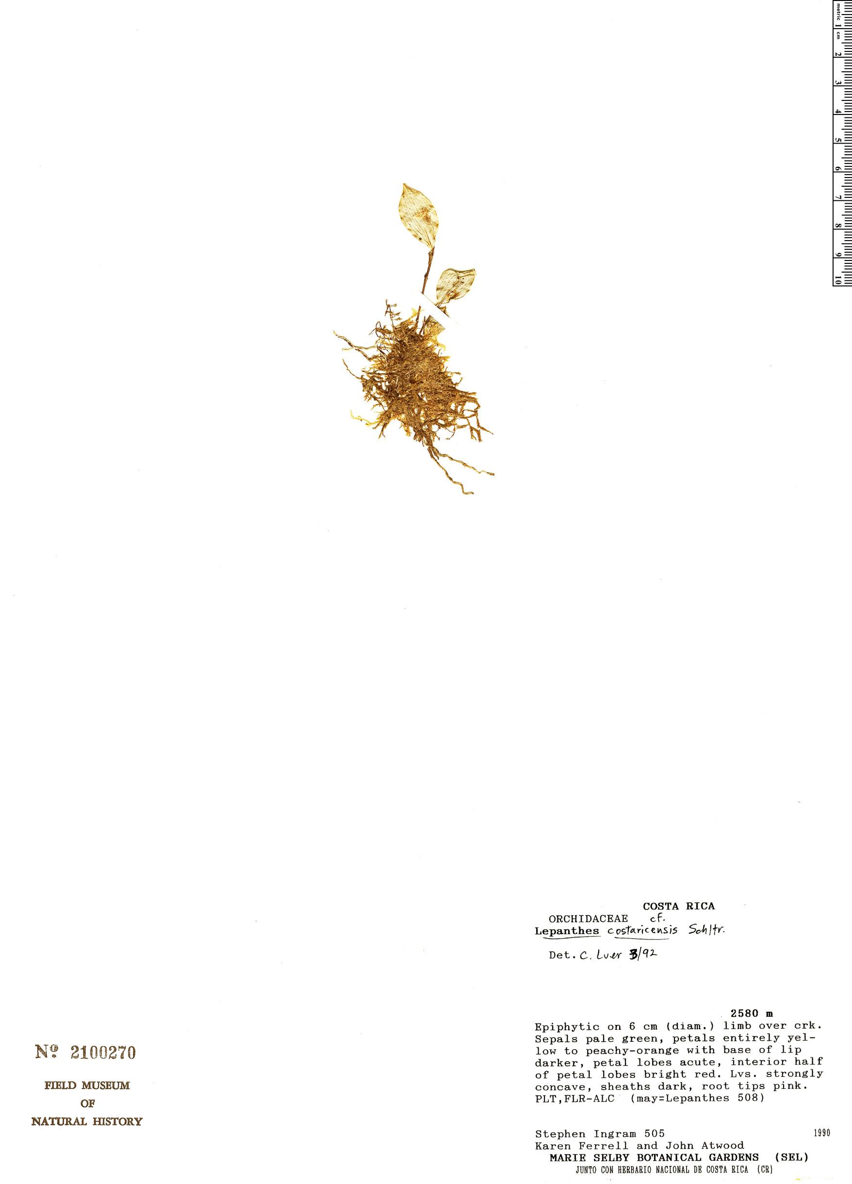 Specimen: Lepanthes costaricensis