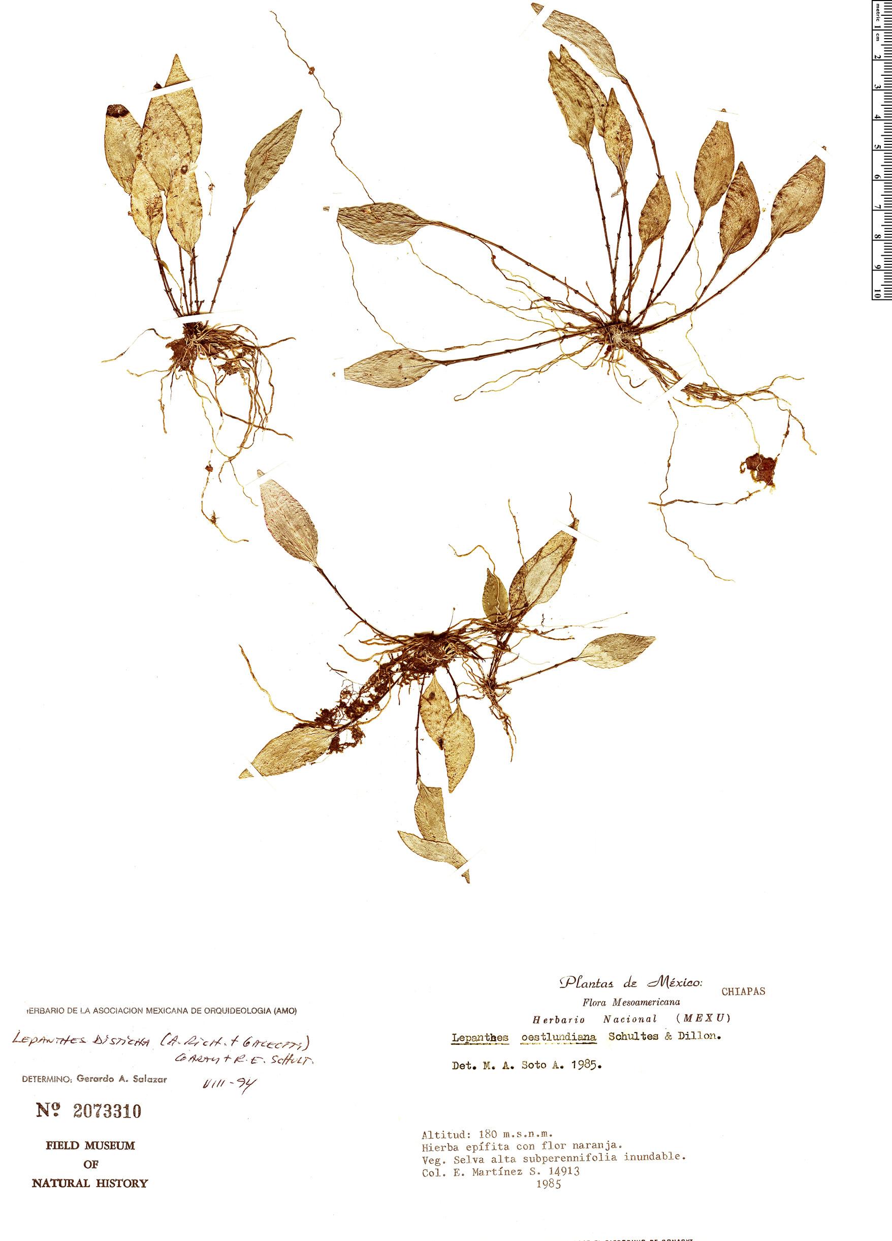 Specimen: Lepanthes disticha