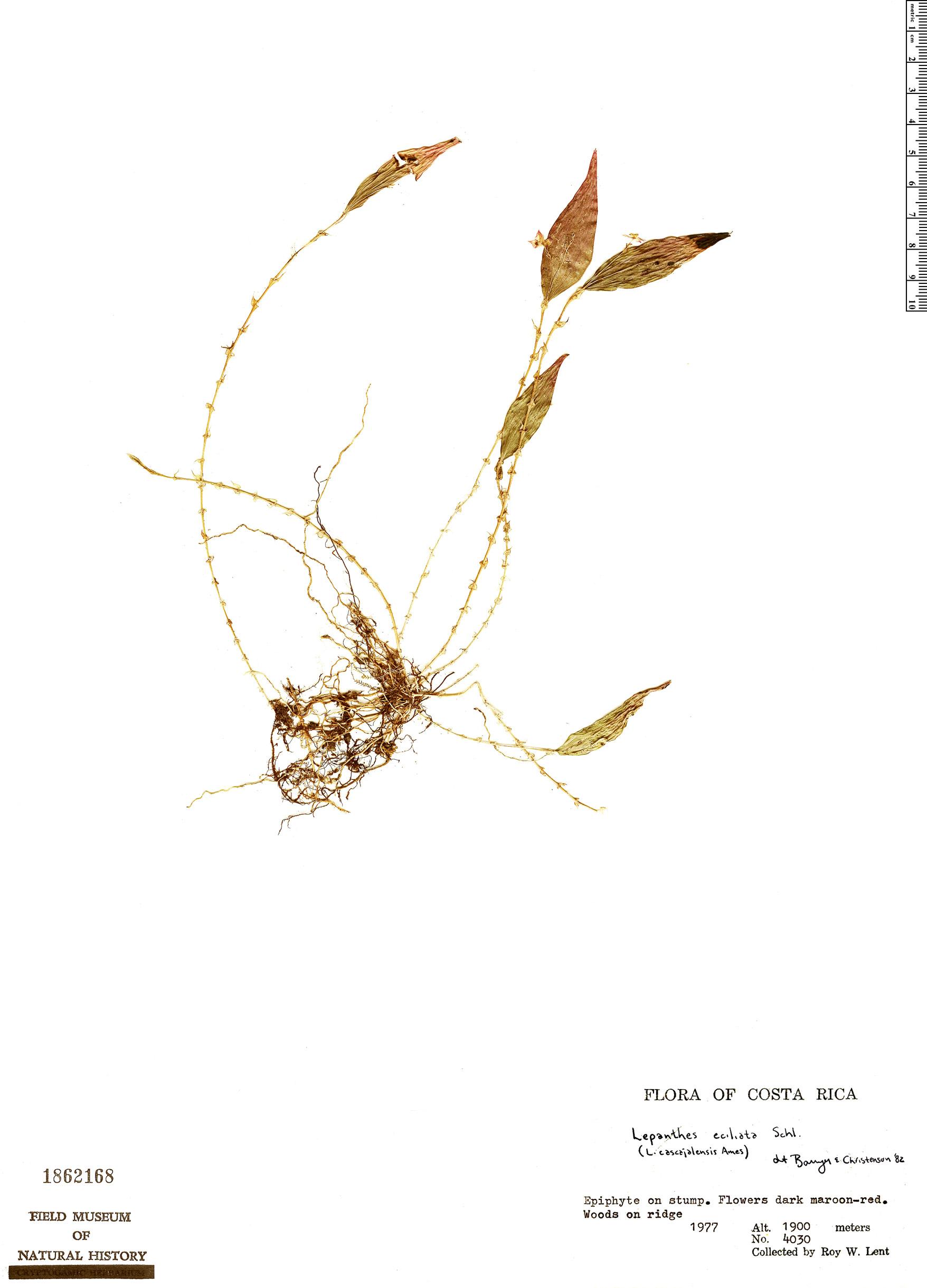 Specimen: Lepanthes eciliata
