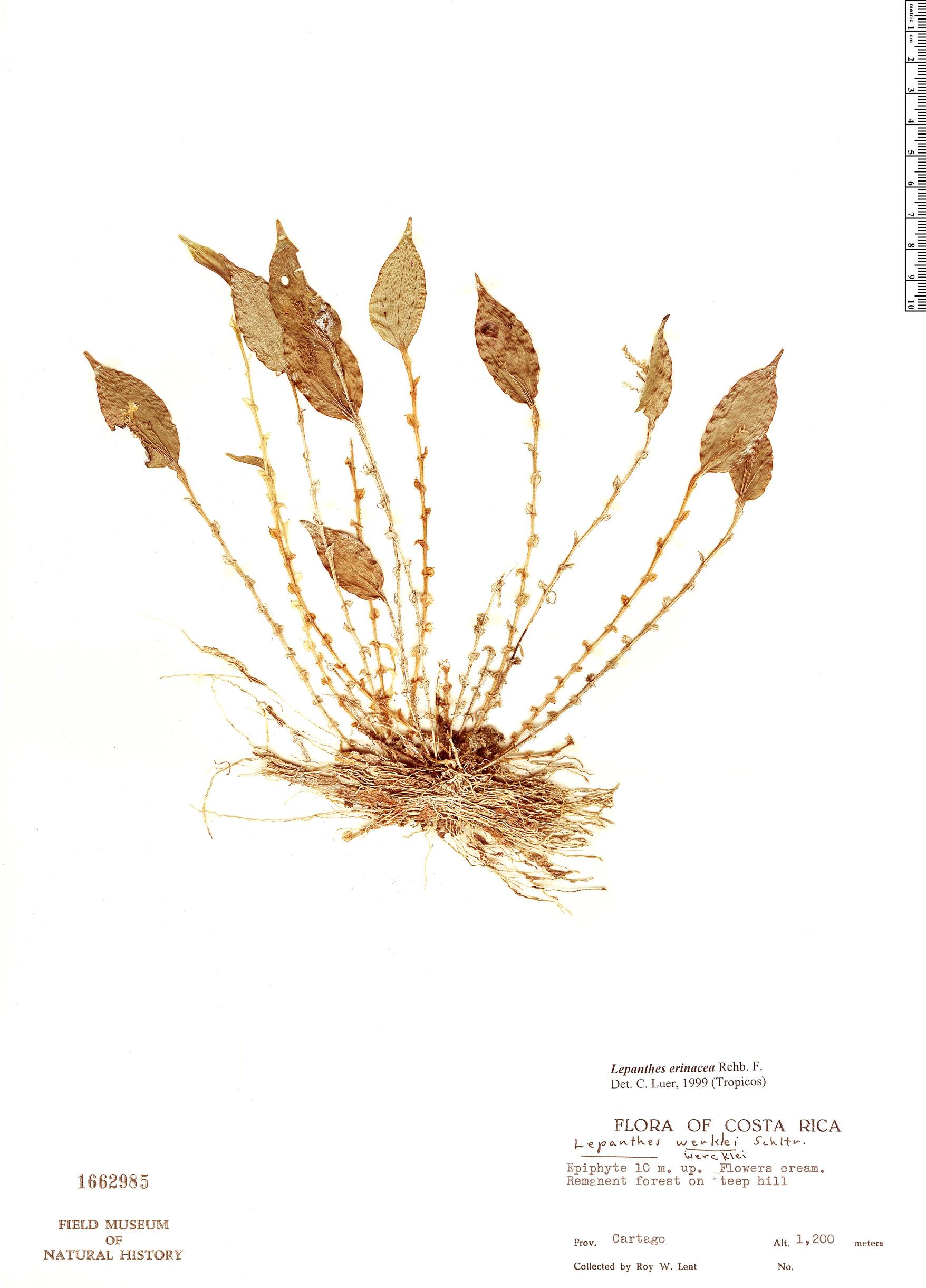 Espécime: Lepanthes erinacea