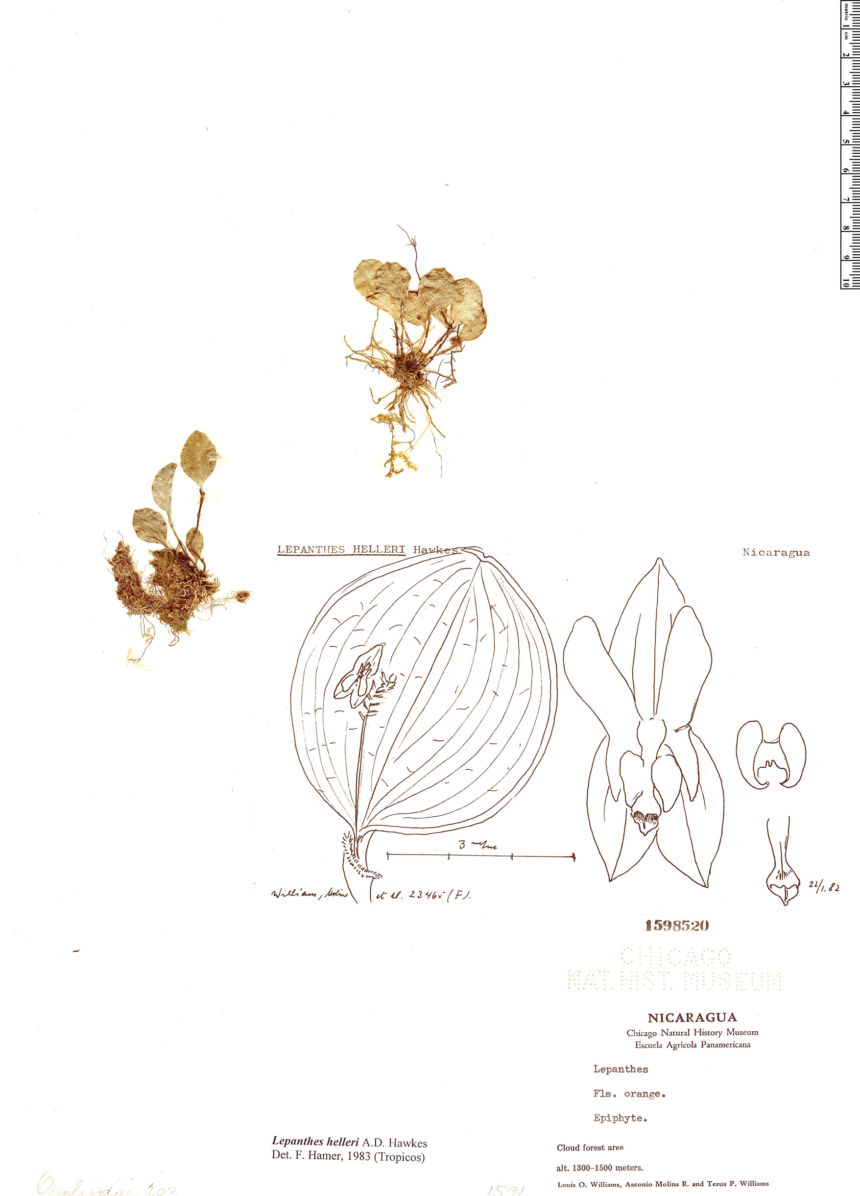 Specimen: Lepanthes helleri