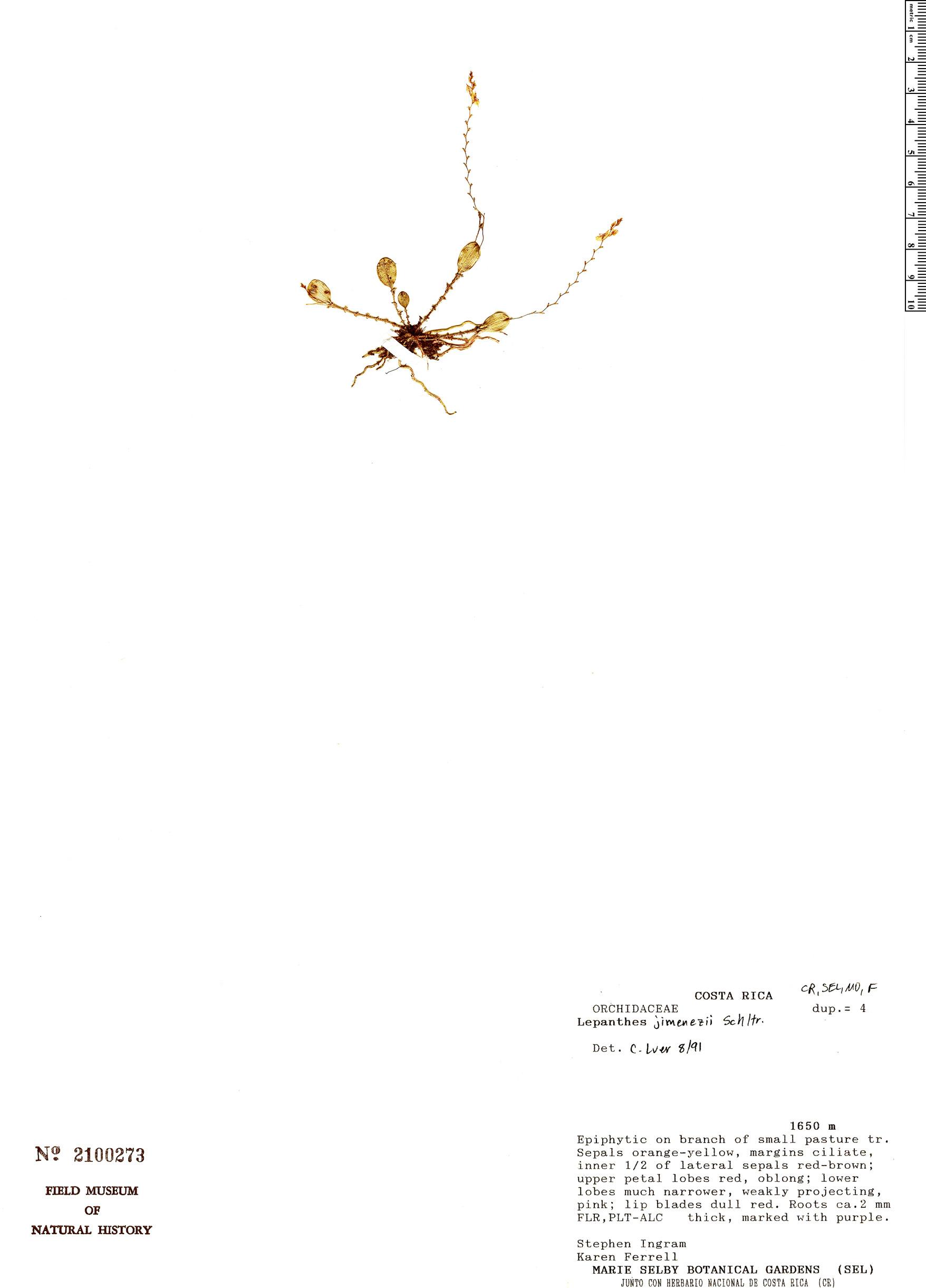 Specimen: Lepanthes jimenezii