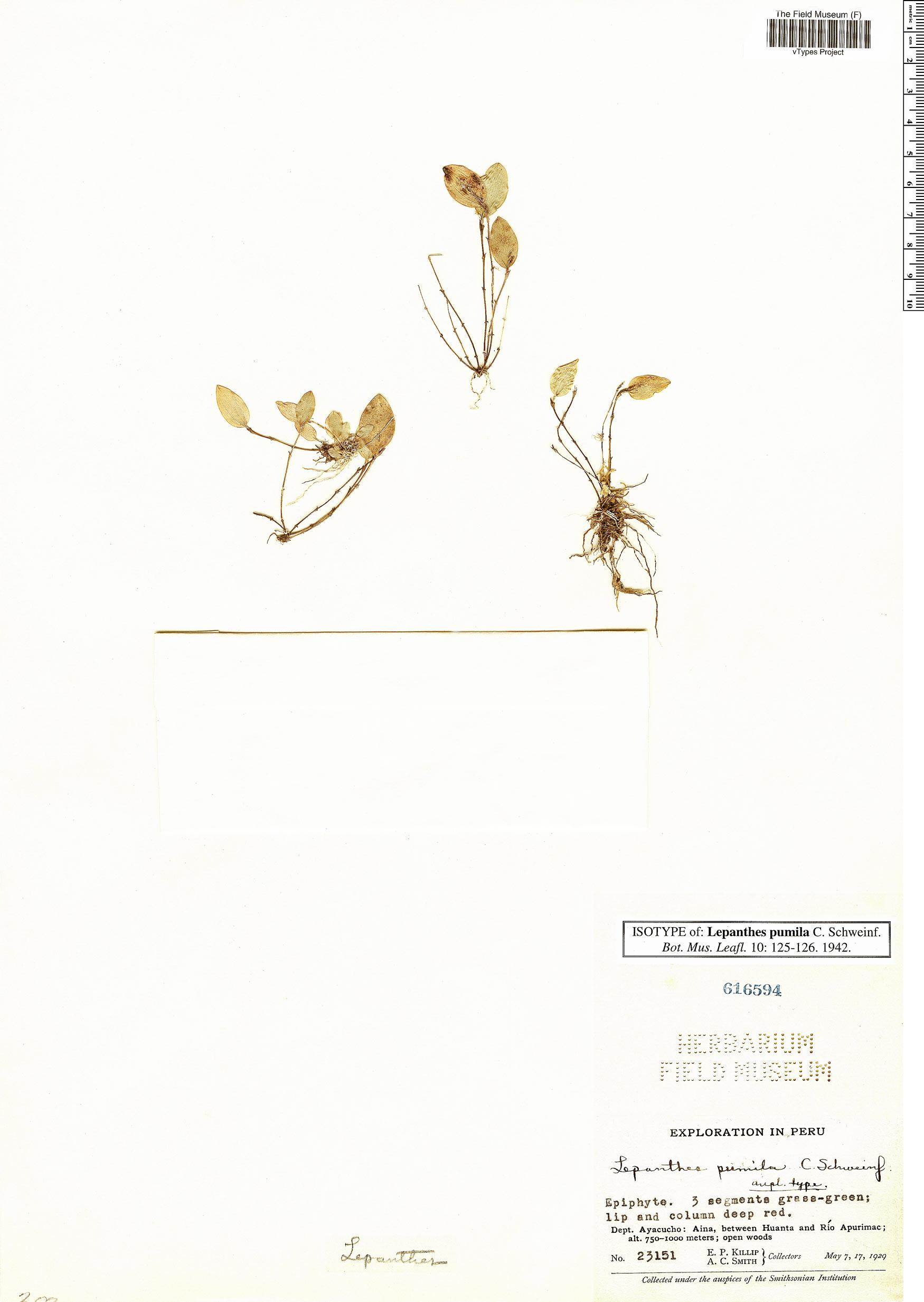 Espécimen: Lepanthes pumila