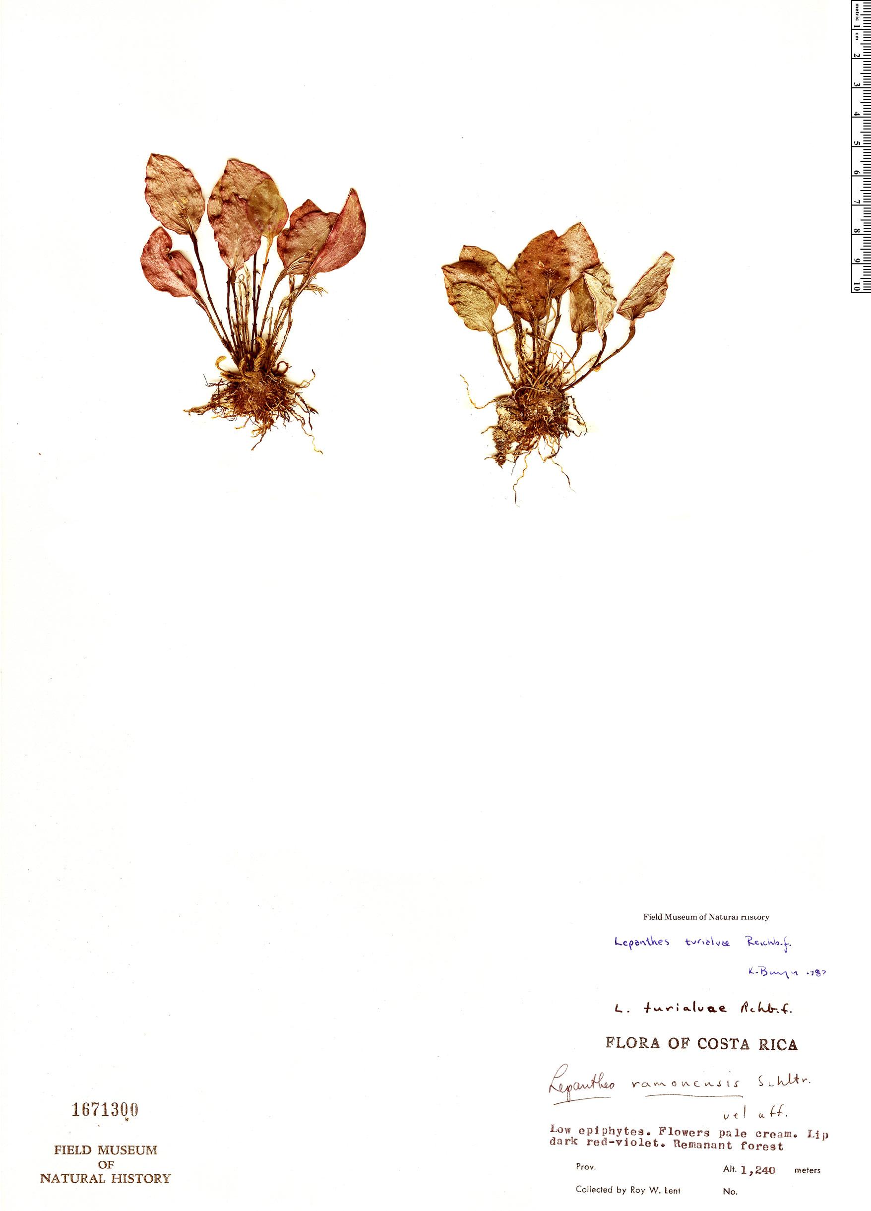 Specimen: Lepanthes turialvae