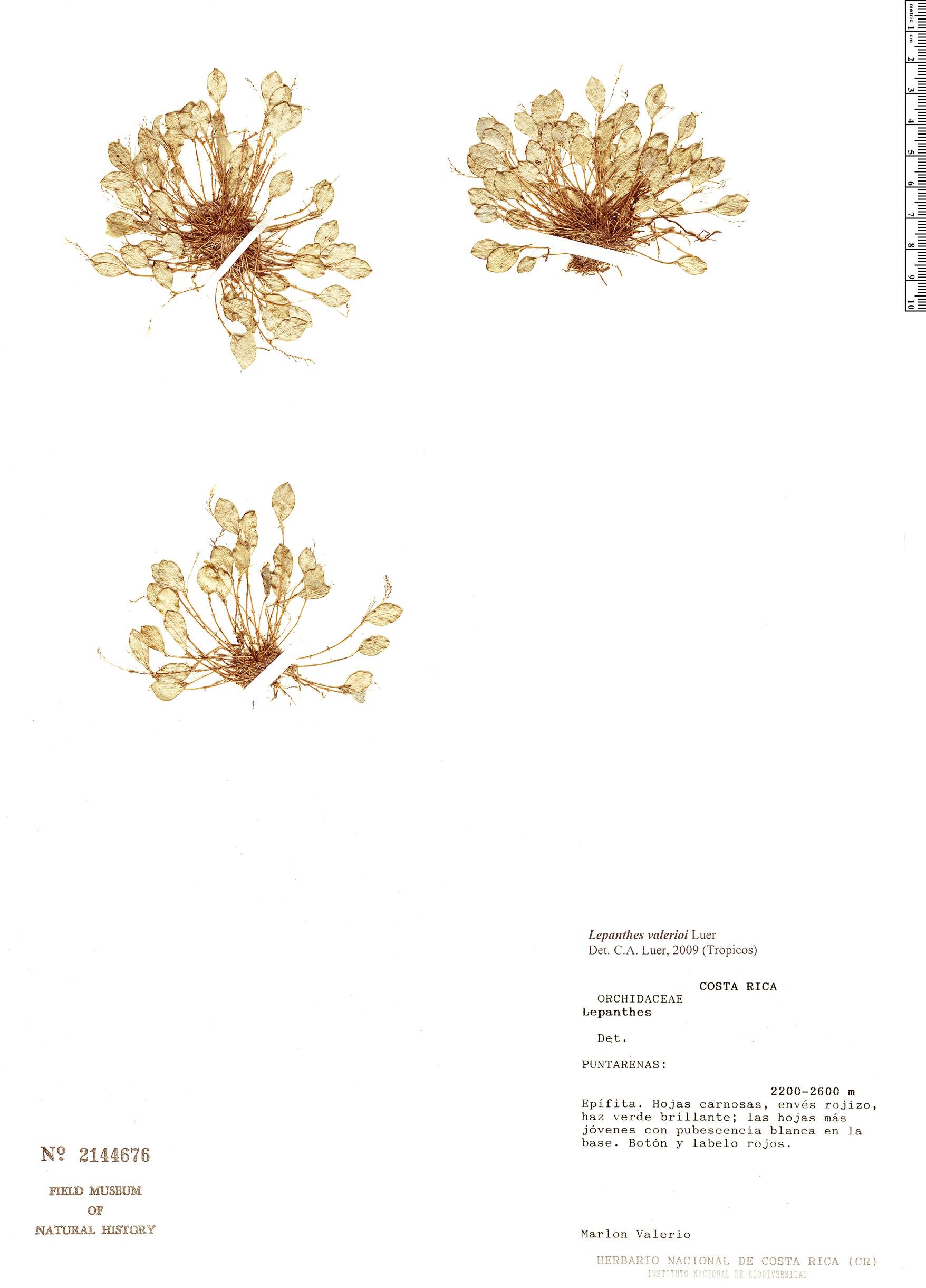 Specimen: Lepanthes valerioi