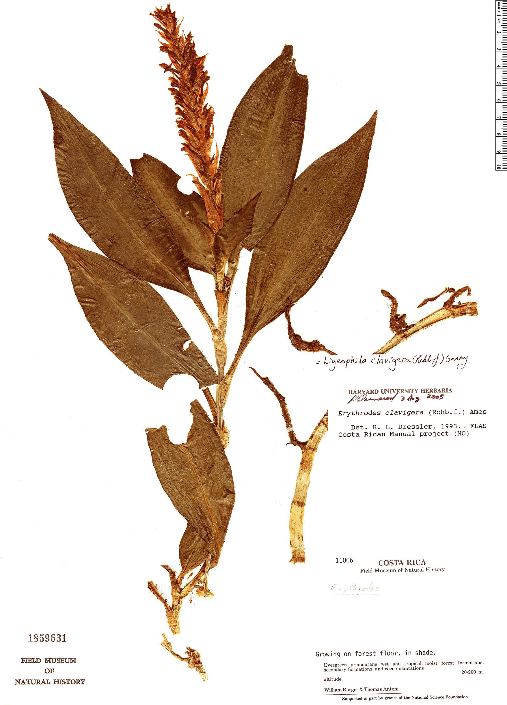 Specimen: Ligeophila clavigera