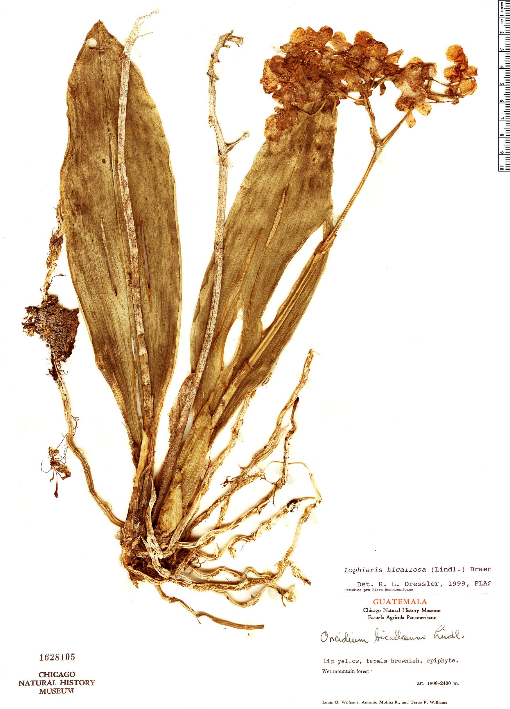 Specimen: Trichocentrum bicallosum