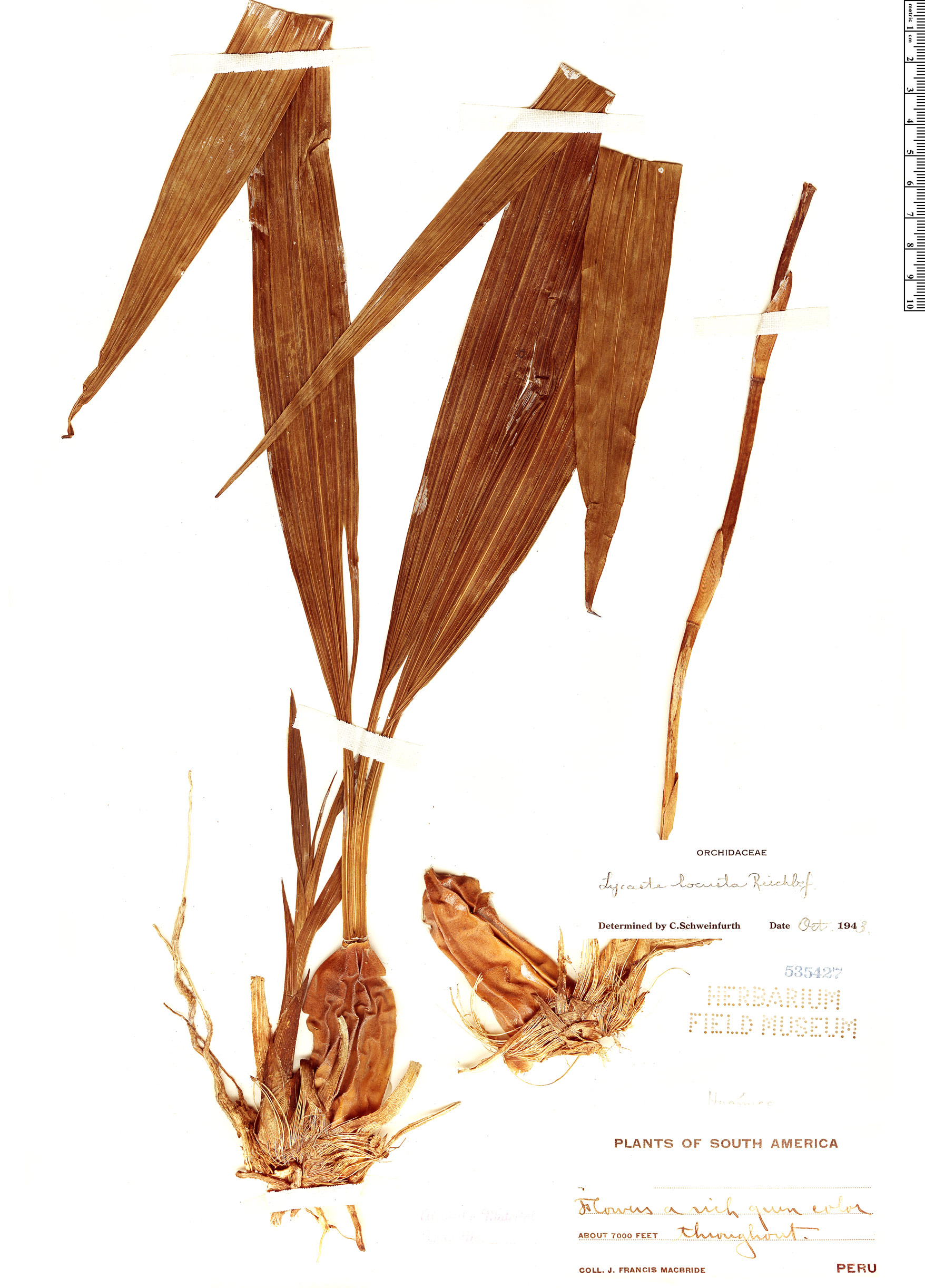 Specimen: Sudamerlycaste locusta