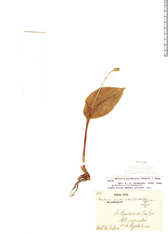 Espécimen: Malaxis pandurata