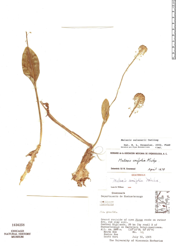 Specimen: Malaxis salazarii