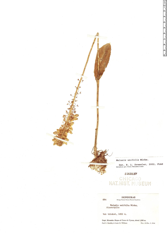 Specimen: Malaxis unifolia