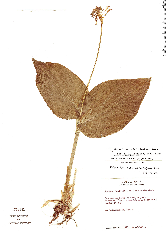 Specimen: Malaxis wercklei
