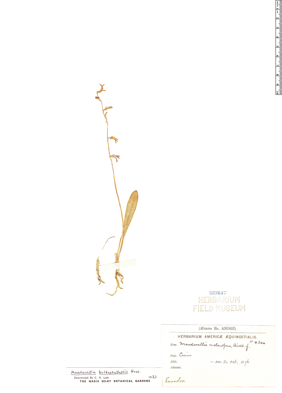 Specimen: Masdevallia bulbophyllopsis