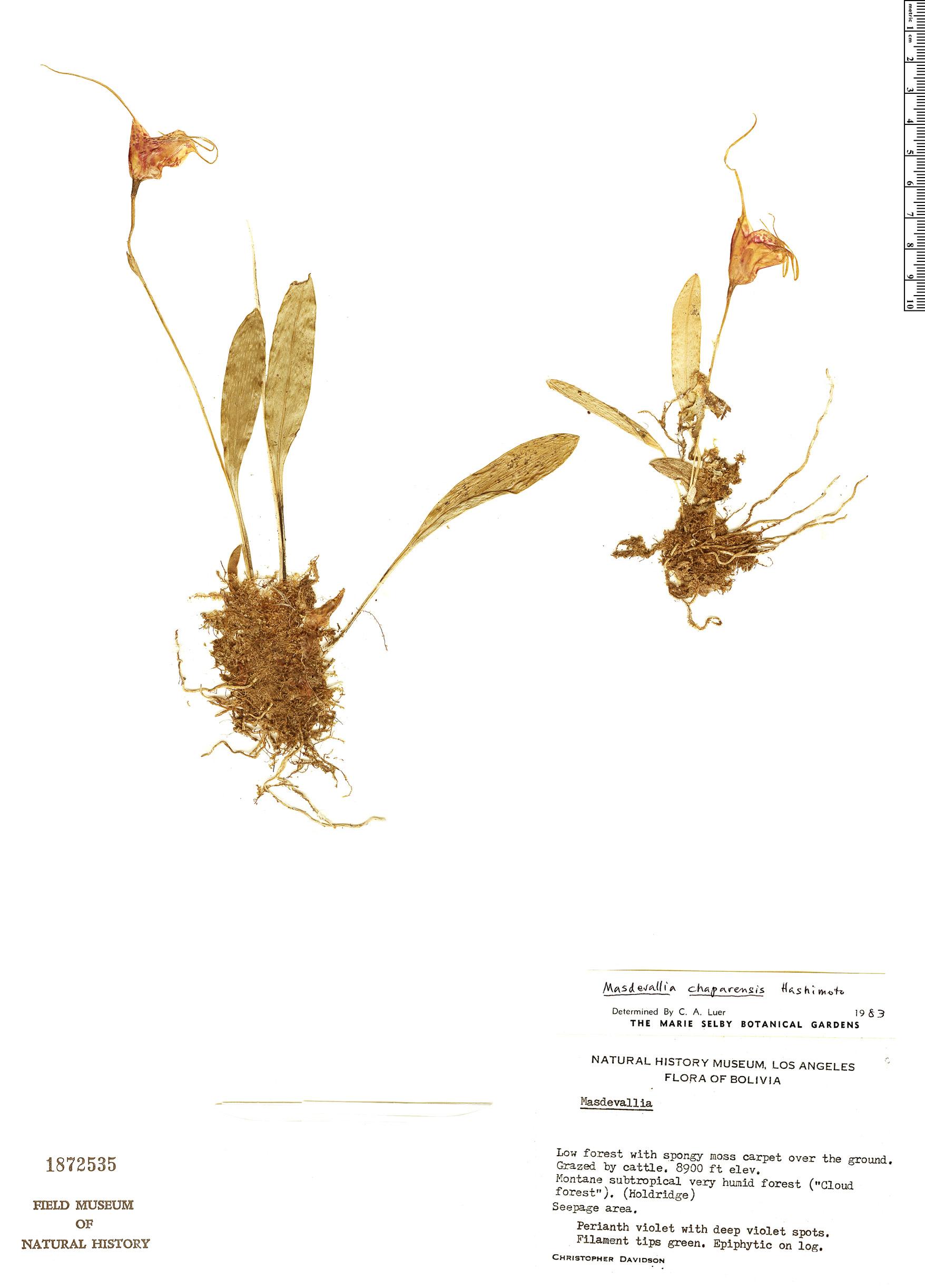 Specimen: Masdevallia chaparensis