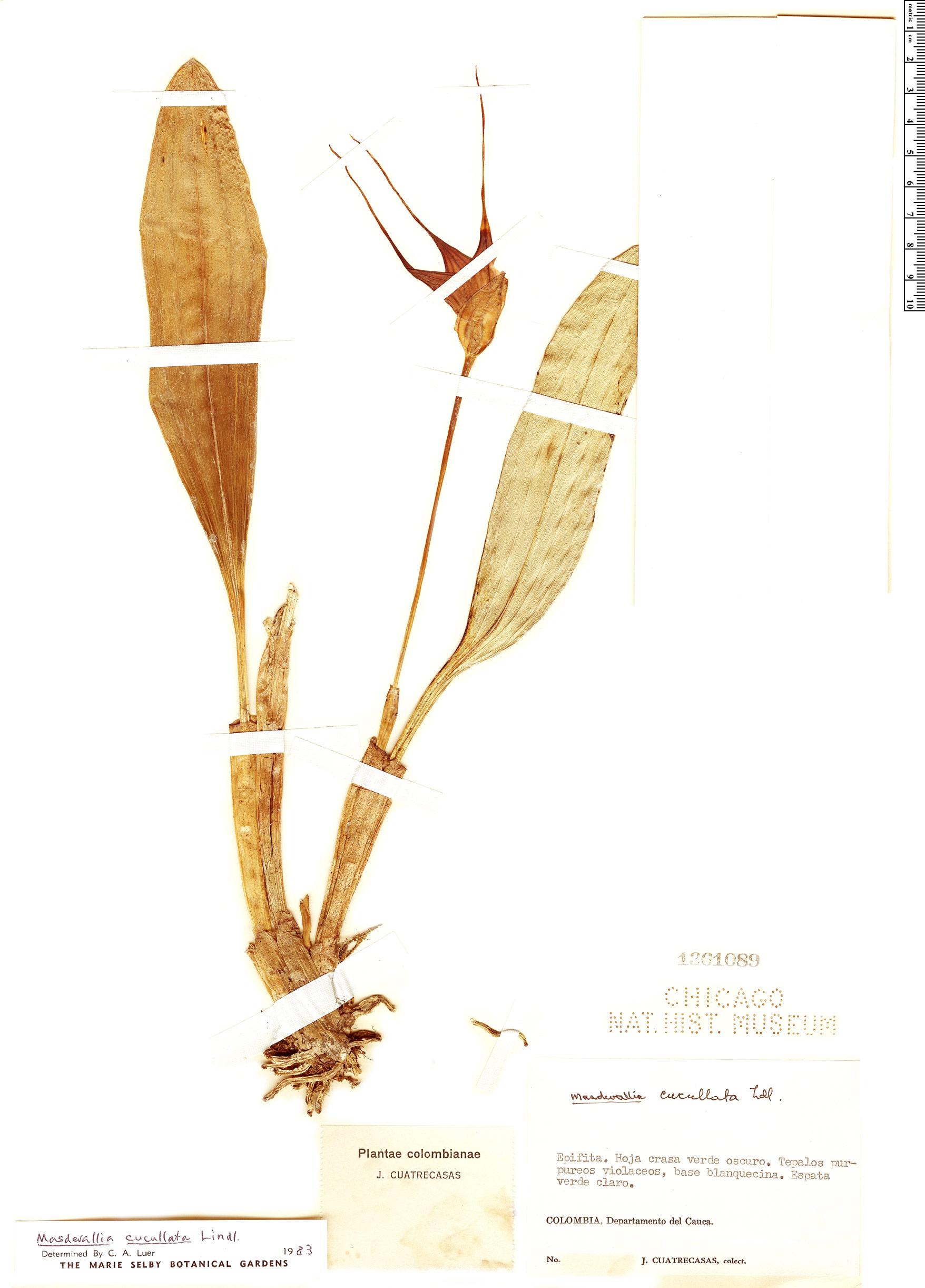 Espécime: Masdevallia cucullata