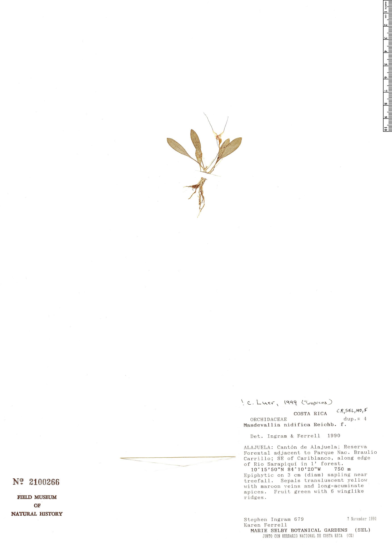Specimen: Masdevallia nidifica