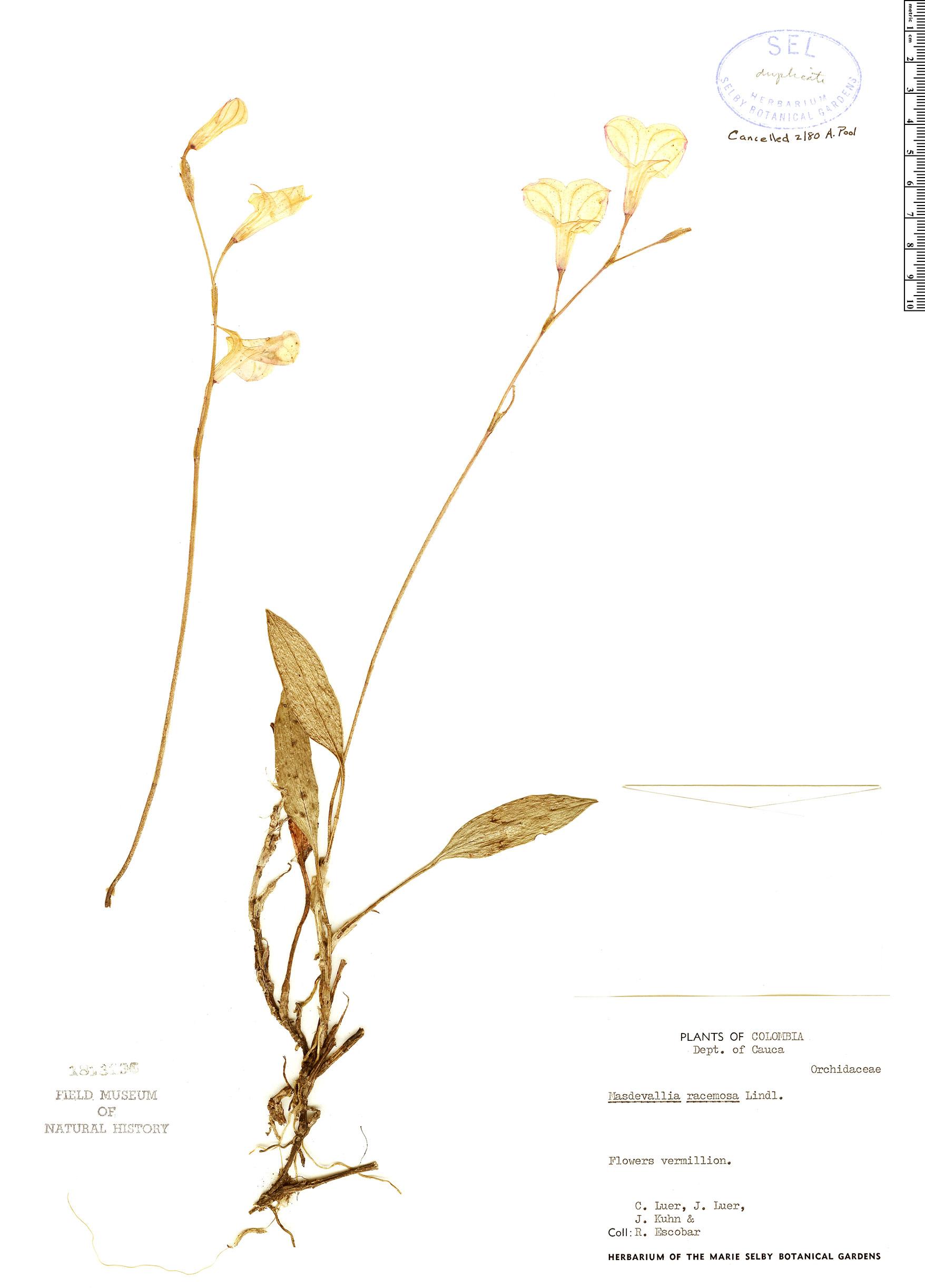 Specimen: Masdevallia racemosa