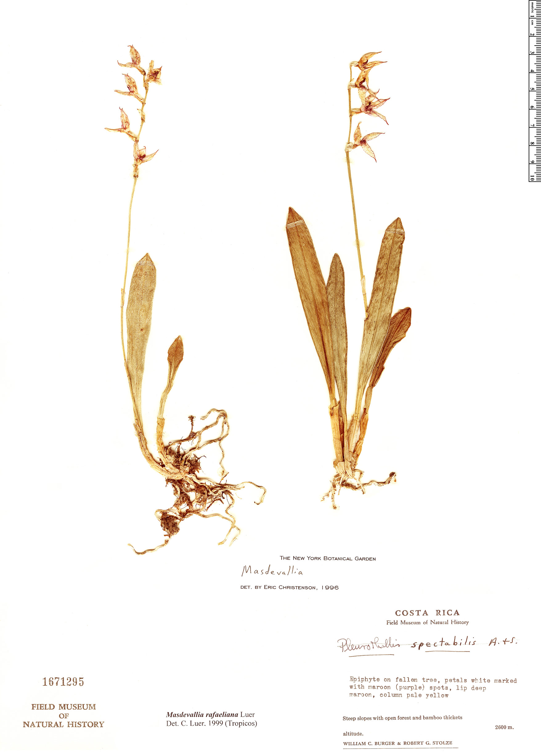 Specimen: Masdevallia rafaeliana