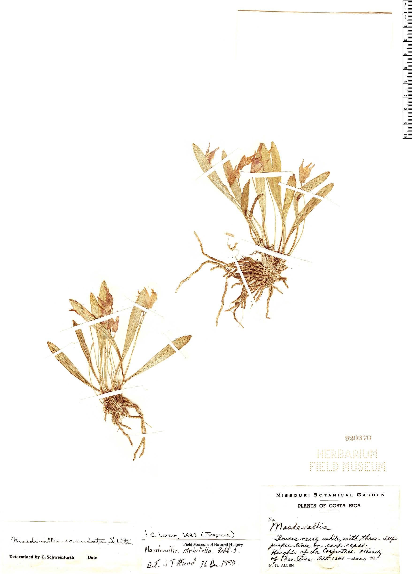 Specimen: Masdevallia striatella
