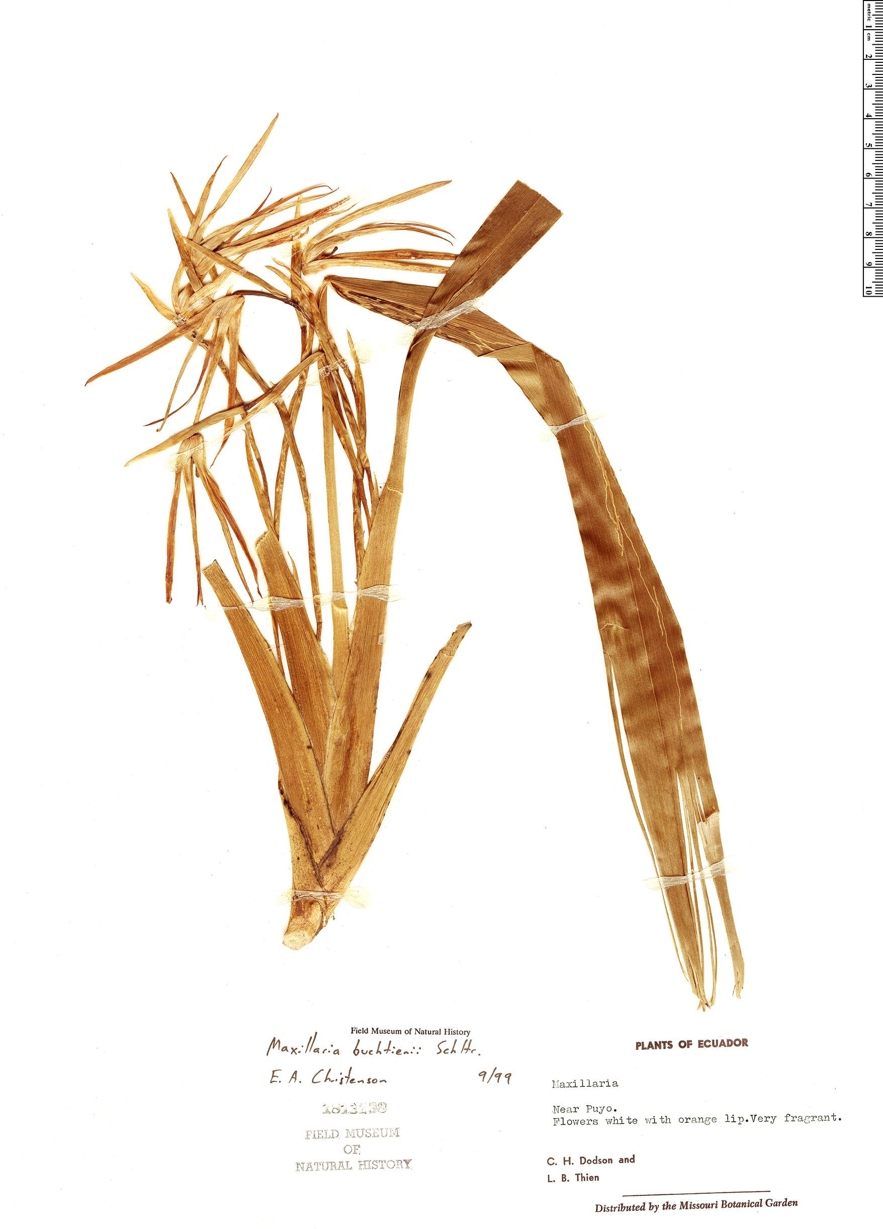 Specimen: Maxillaria buchtienii