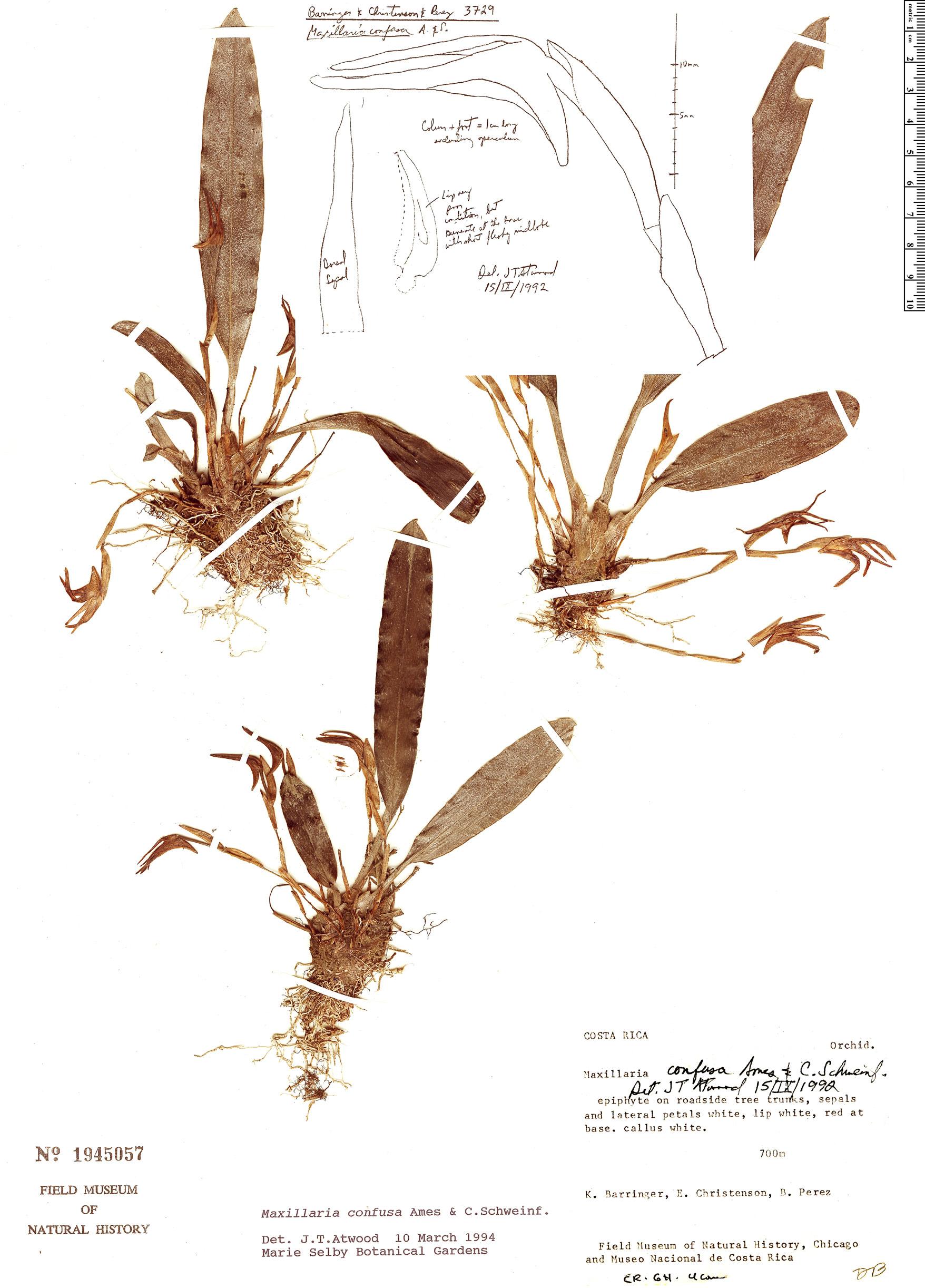 Specimen: Maxillaria confusa