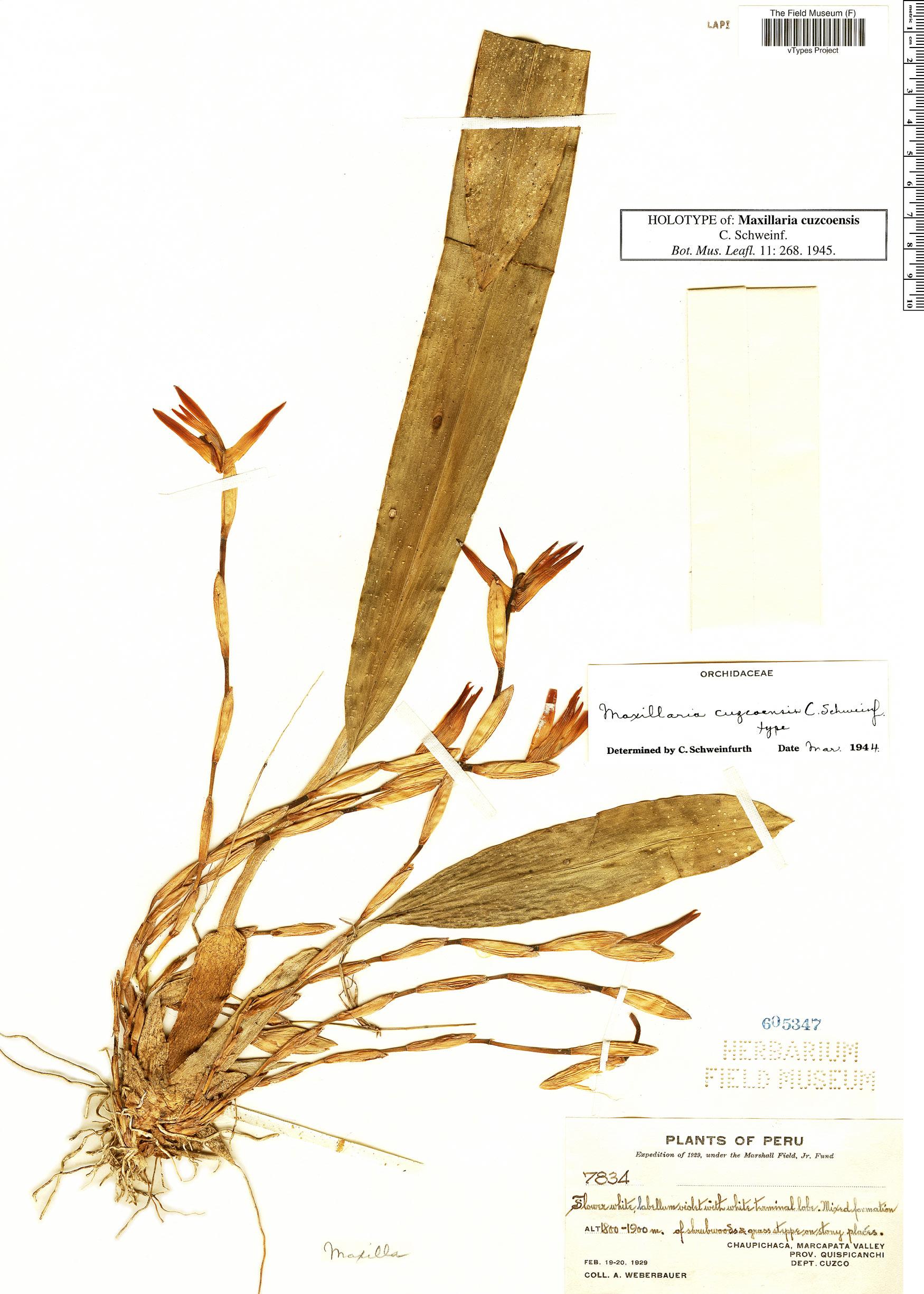 Specimen: Maxillaria cuzcoensis