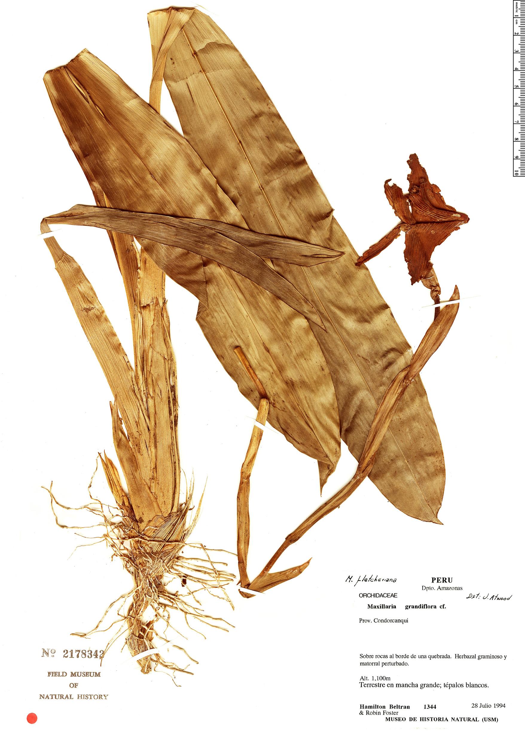 Specimen: Maxillaria fletcheriana