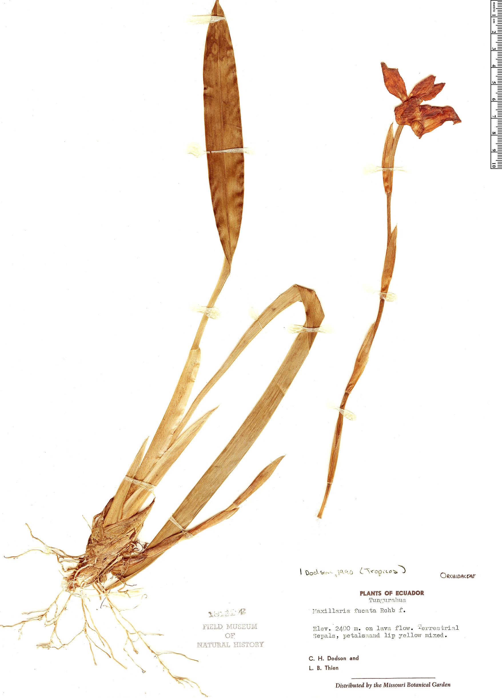 Specimen: Maxillaria fucata