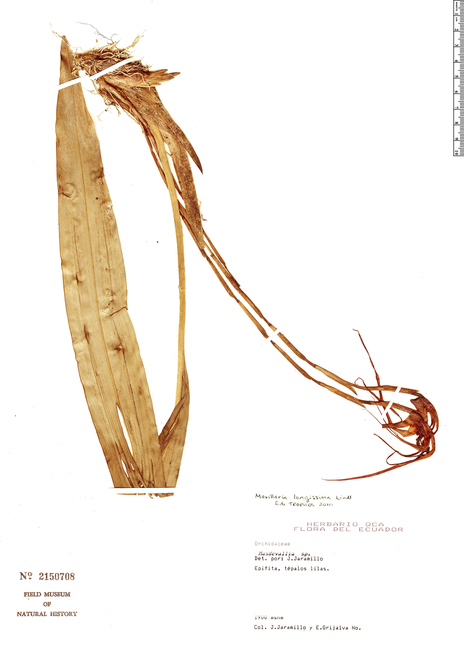 Specimen: Maxillaria longissima