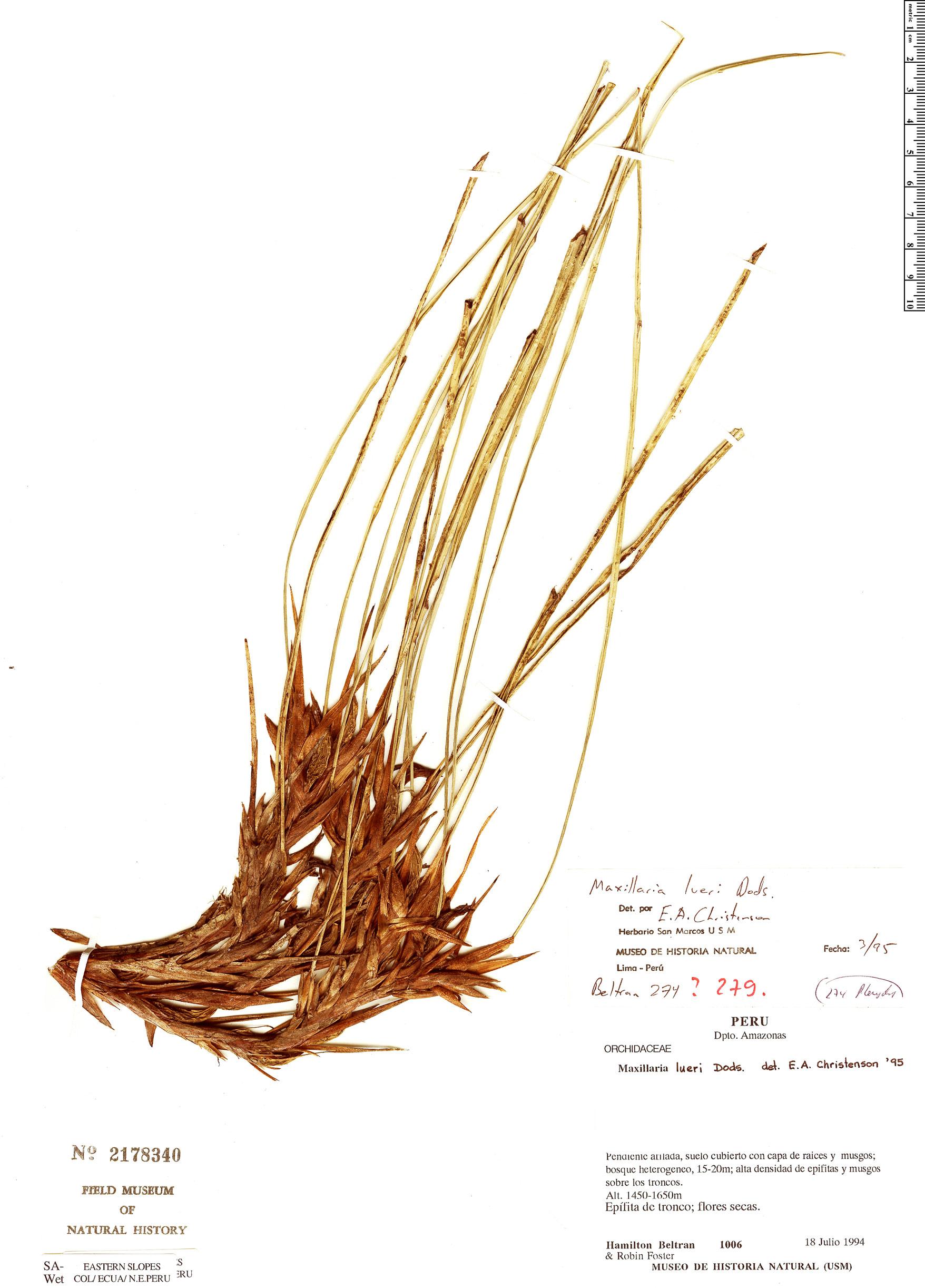 Specimen: Maxillaria lueri