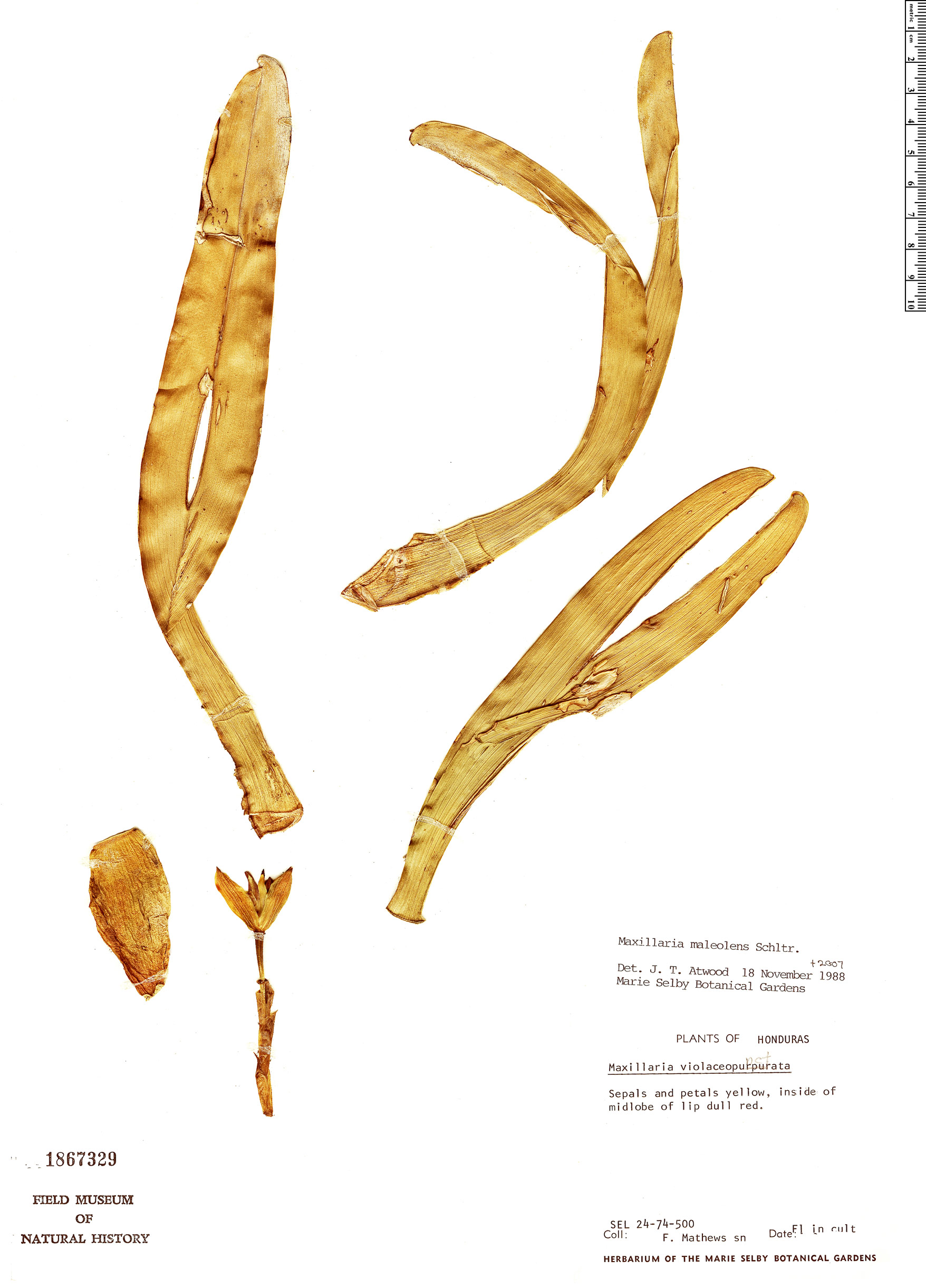 Specimen: Maxillaria maleolens